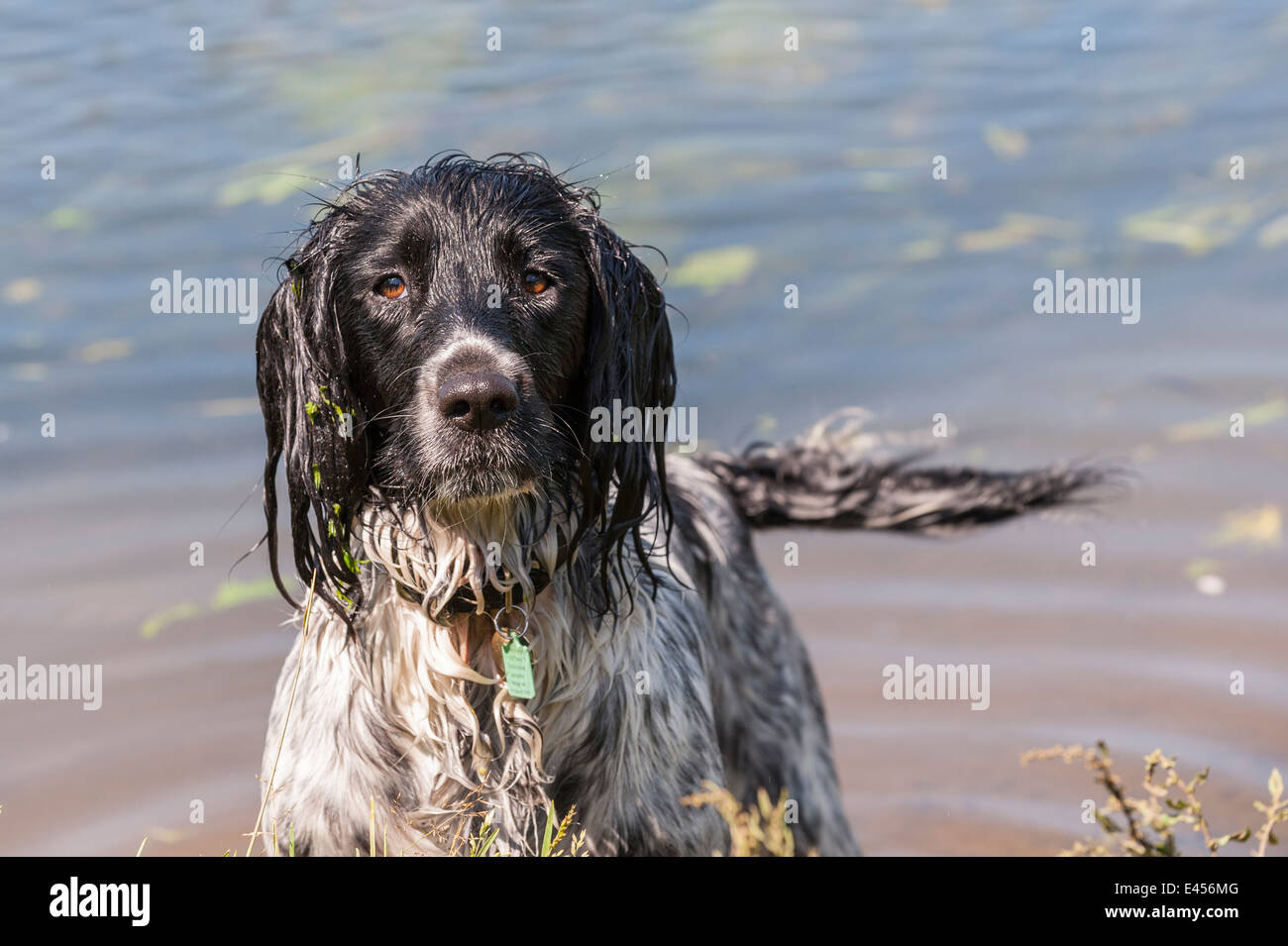 A wet 2 year old working English Springer Spaniel dog in the river water in the Uk Stock Photo