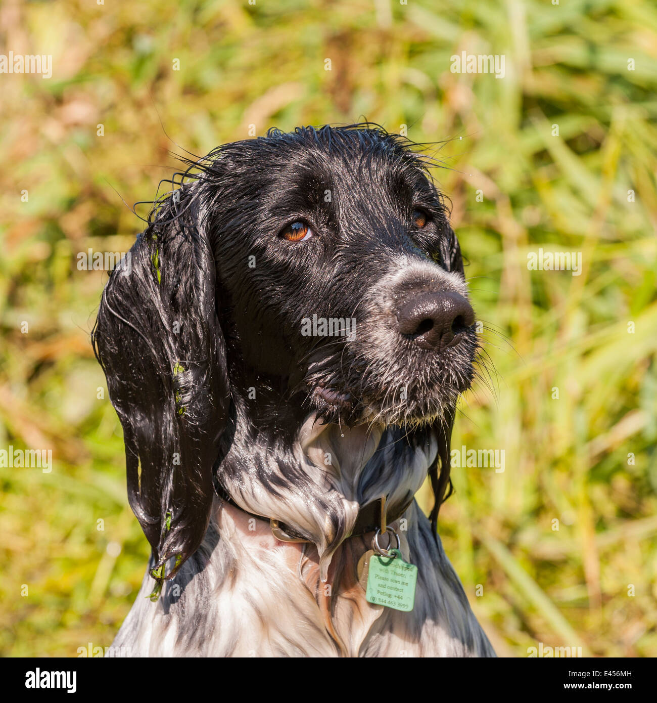 A wet 2 year old working English Springer Spaniel dog in the Uk Stock Photo
