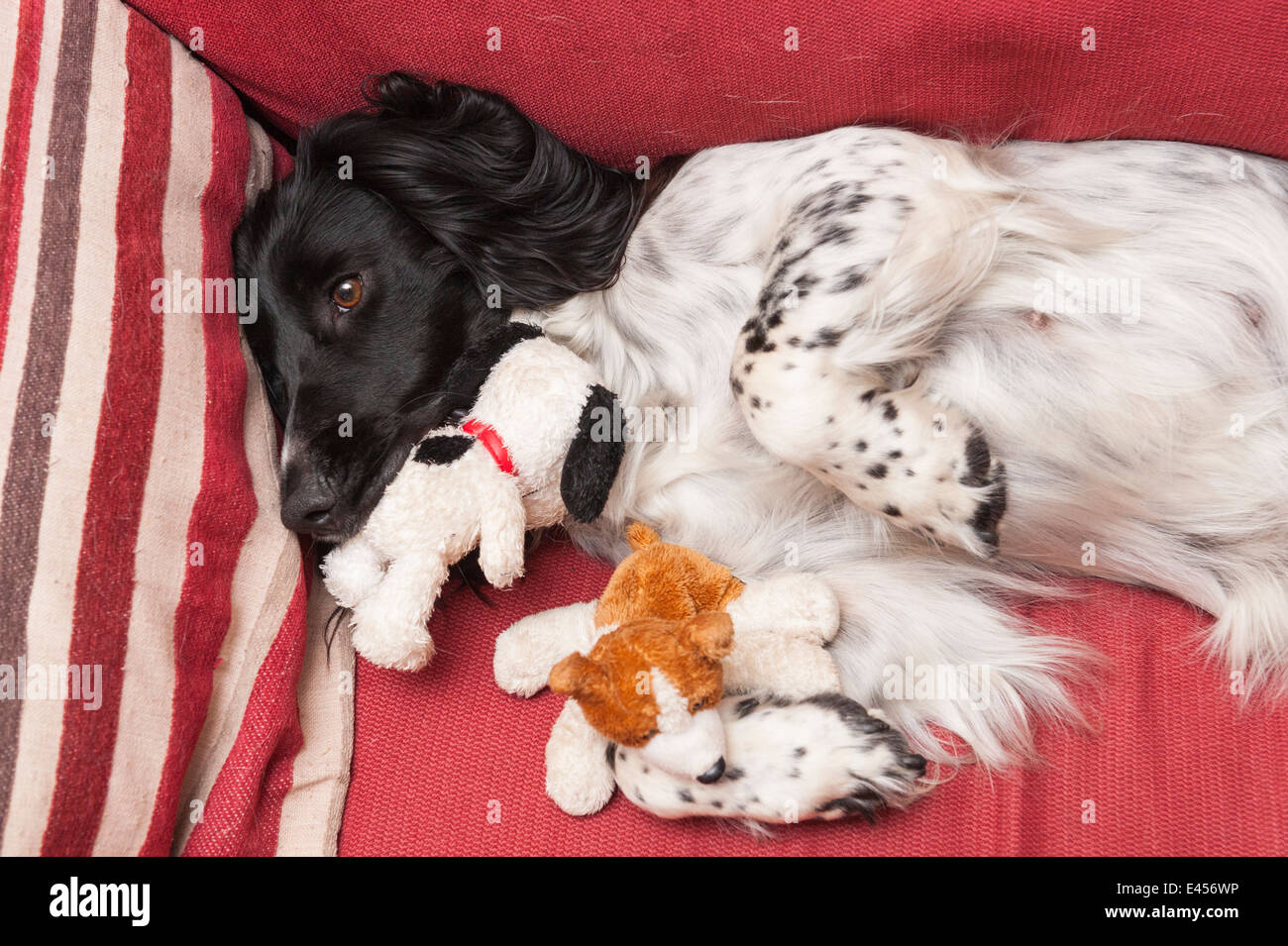A 2 year old English Springer Spaniel dog mothering soft toys as she suffers a phantom preganancy , common in unsprayed - Stock Image