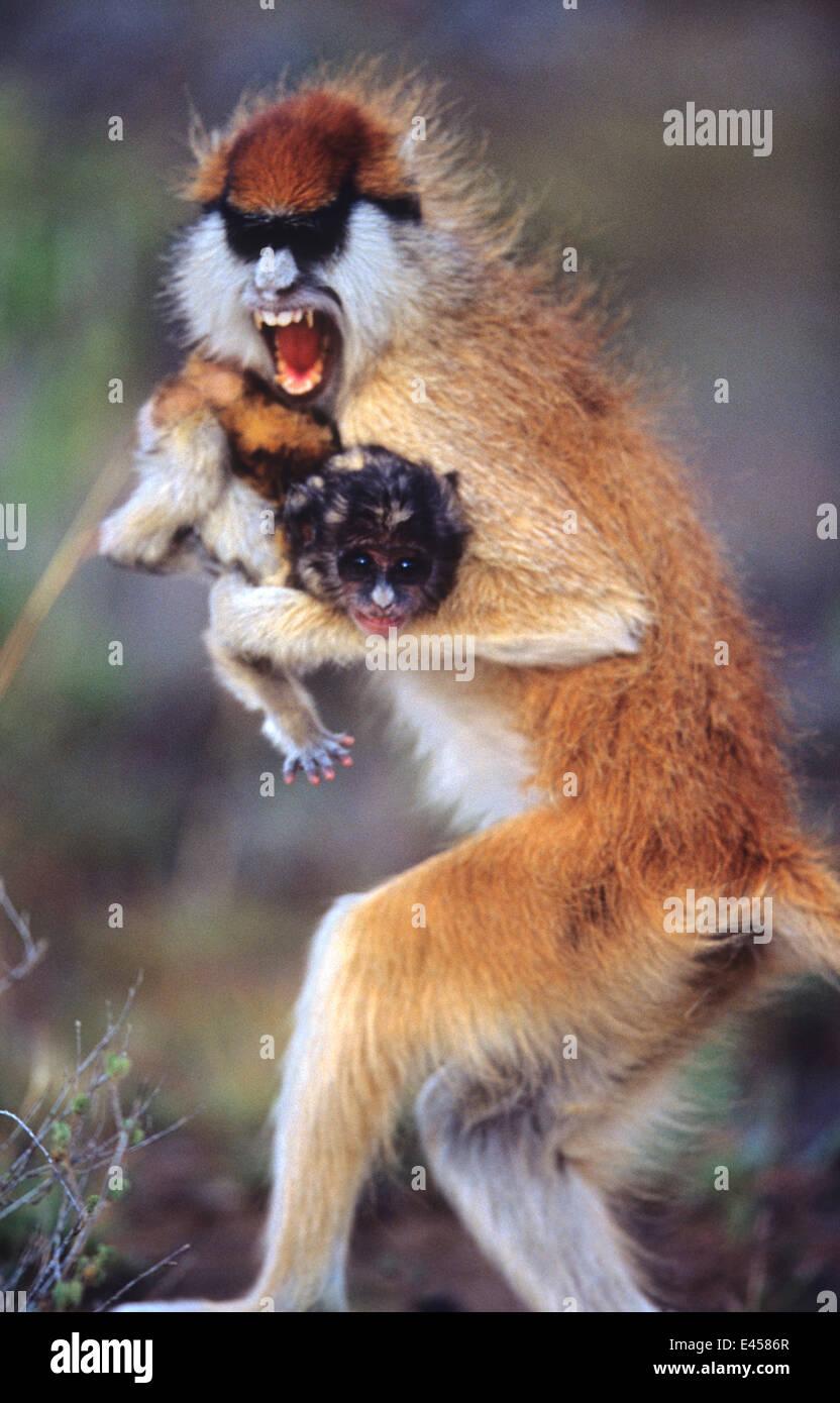 Female Patas monkey stealing baby {Erythrocebus patas} Kenya - Stock Image