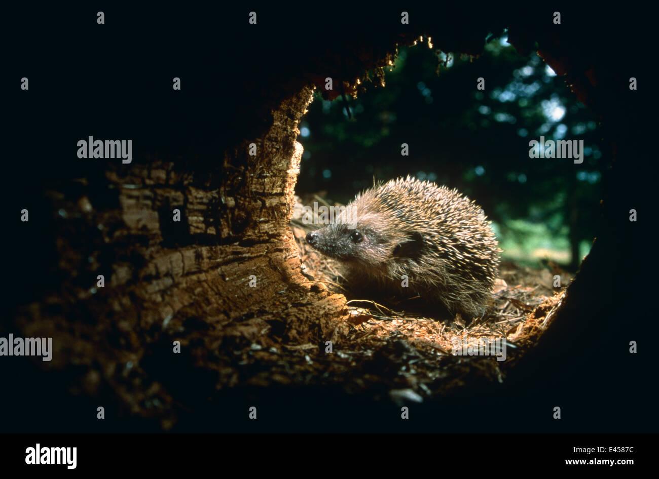 Hedgehog investigates hollow trunk {Erinaceus europaeus} Germany - Stock Image