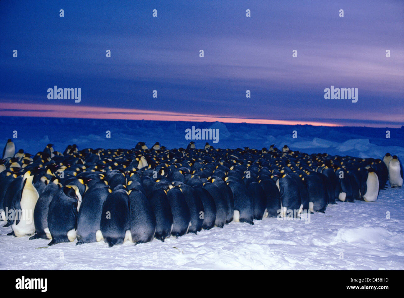 Emperor penguin {Aptenodytes forsteri} males huddle for warmth in minus 40 degrees centigrade while incubating eggs - Stock Image