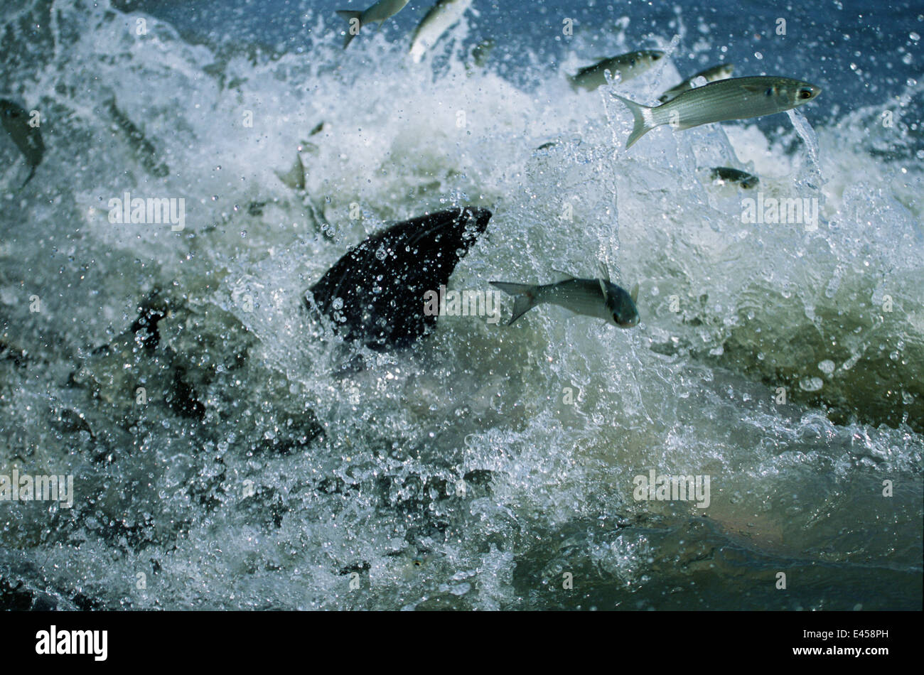 Fish chased into shore by Bottlenose dolphins strand feeding at salt marsh, SE USA Stock Photo