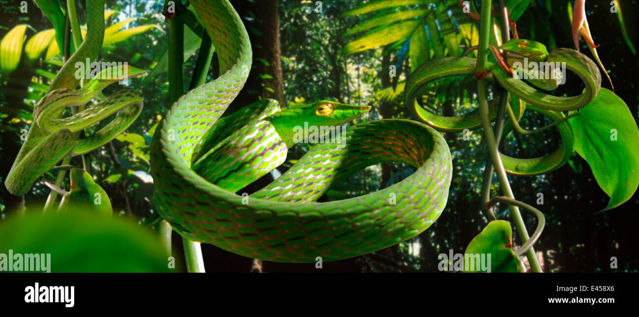 Vine snakes (Dryophis nasuta) imitate curled tendrils of foliage to conceal themselves in the rainforest (Resolution restriction - image digitised from film, 'Weird Nature' tv series) Stock Photo