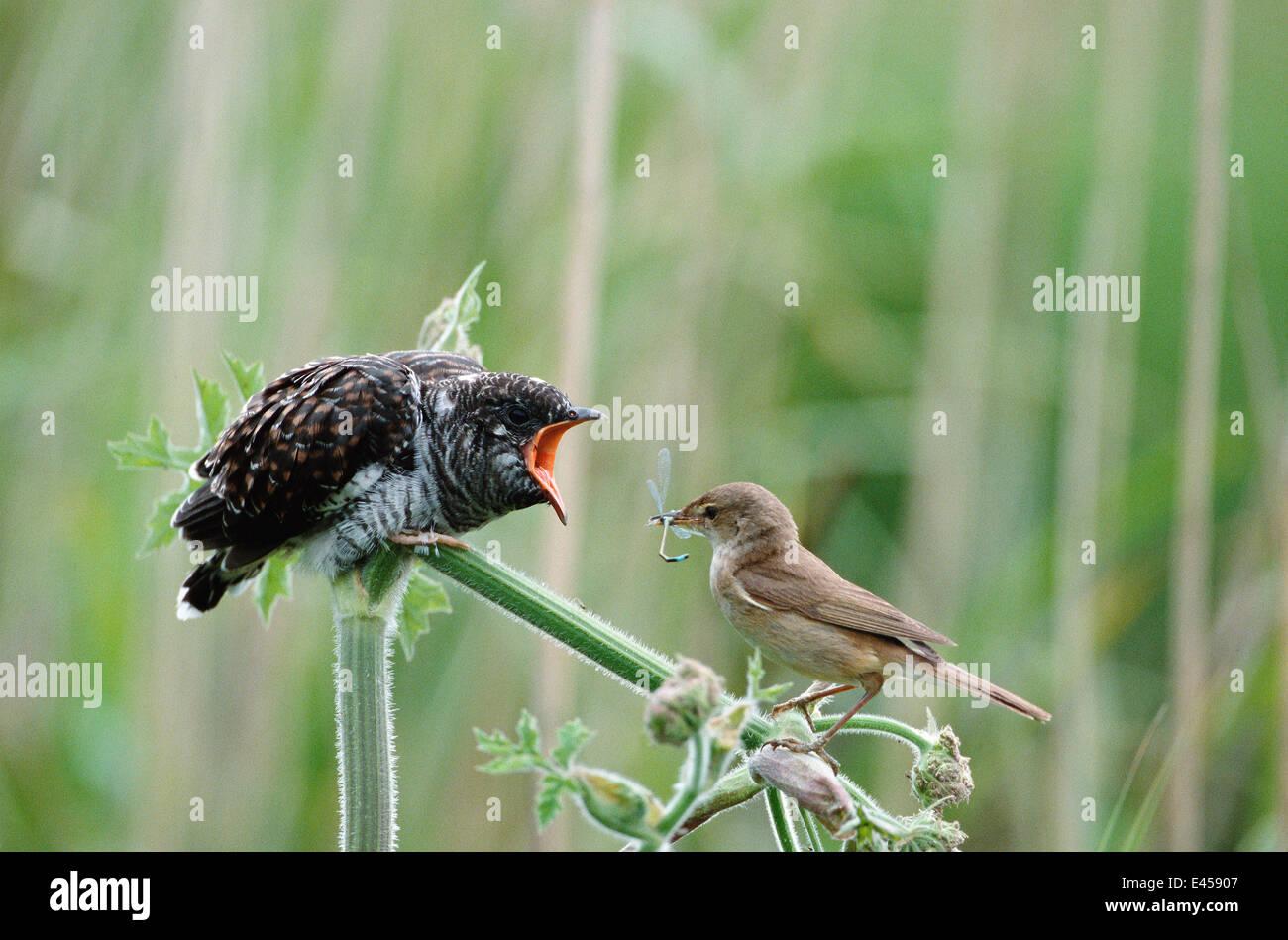 Juvenile European cuckoo {Cuculus canorus} fed by Reed warbler {Acrocephalus scirpaceus}. Bucks, UK. Cuckoos lay - Stock Image
