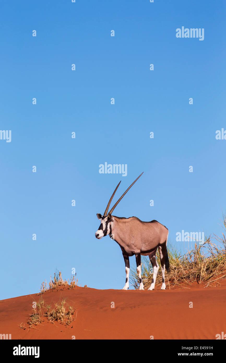 Gemsbok (Oryx gazella) - Stock Image