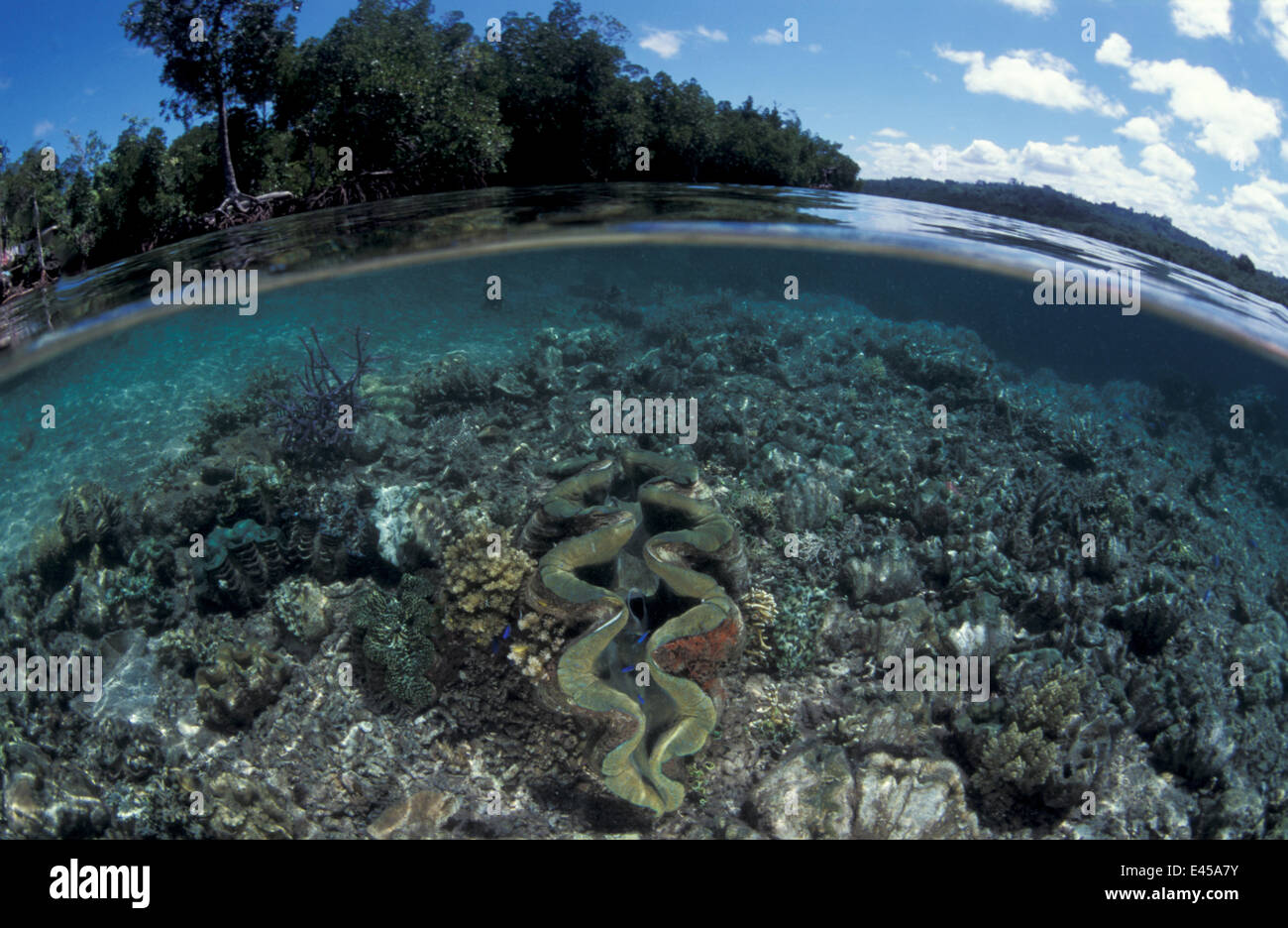 Mangrove forest and shallow coral reef with Giant clam, split level, Papua New Guinea Stock Photo