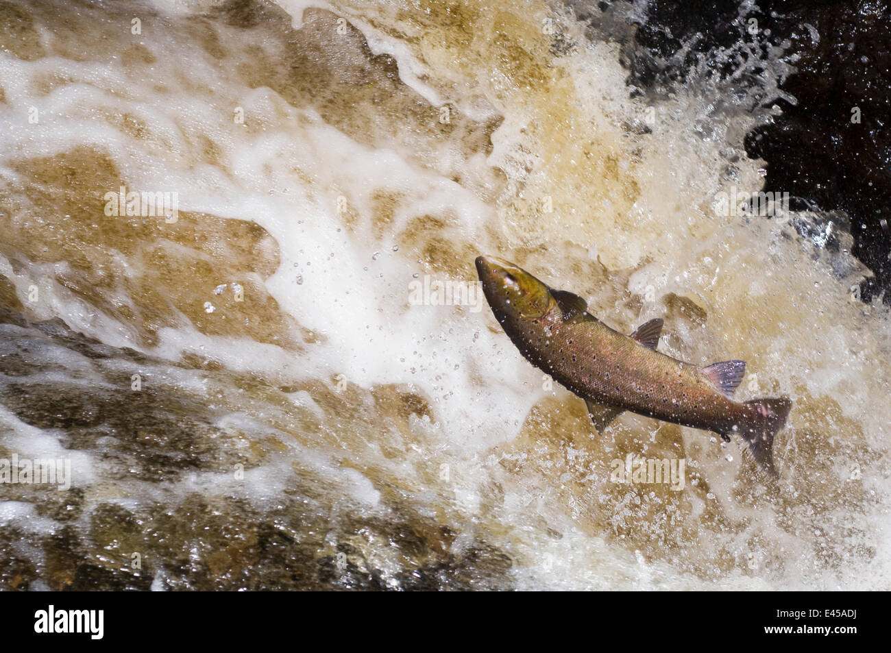 Atlantic salmon {Salmo salar} leaping up waterfall on migration and falling back into the water, Perthshire, Scotland, - Stock Image