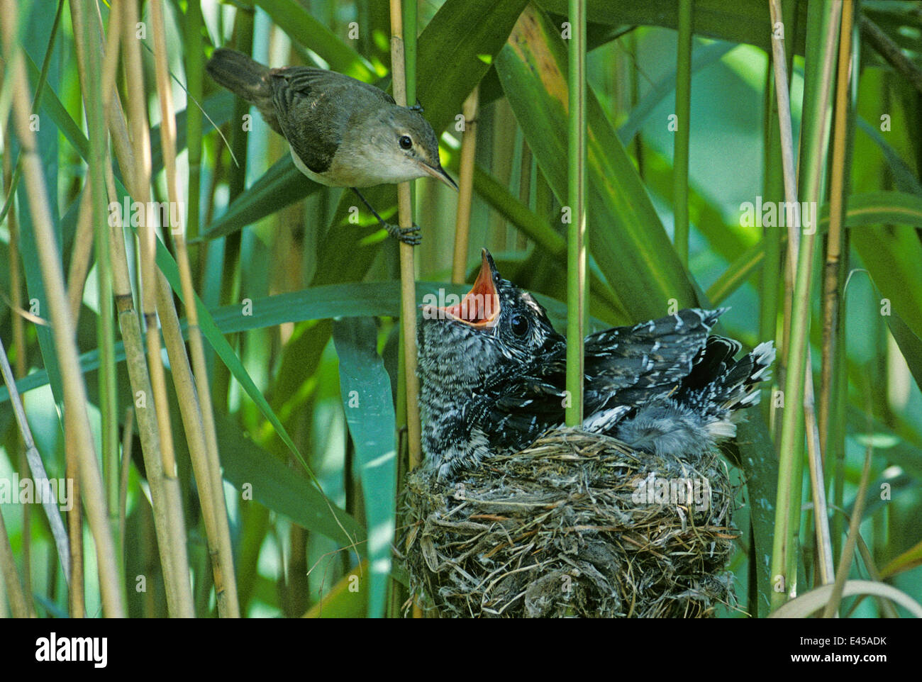 Reed warbler (Acrocephalus scirpaceus) with large fledgling Cuckoo (Cuculus canorus) in it's nest, Essex, UK - Stock Image