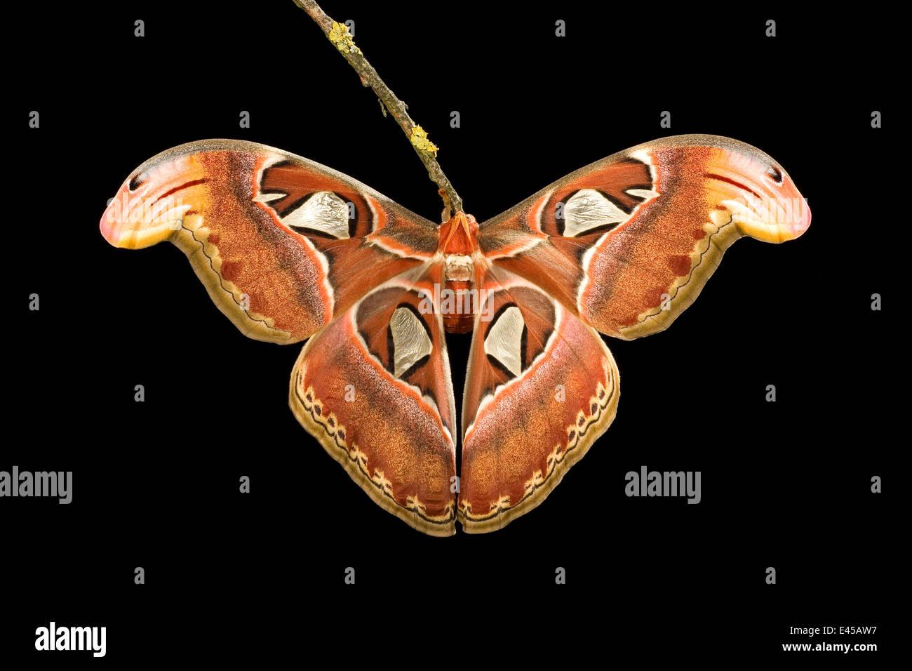 Southeast Asian atlas moth (Attacus atlas) - Stock Image