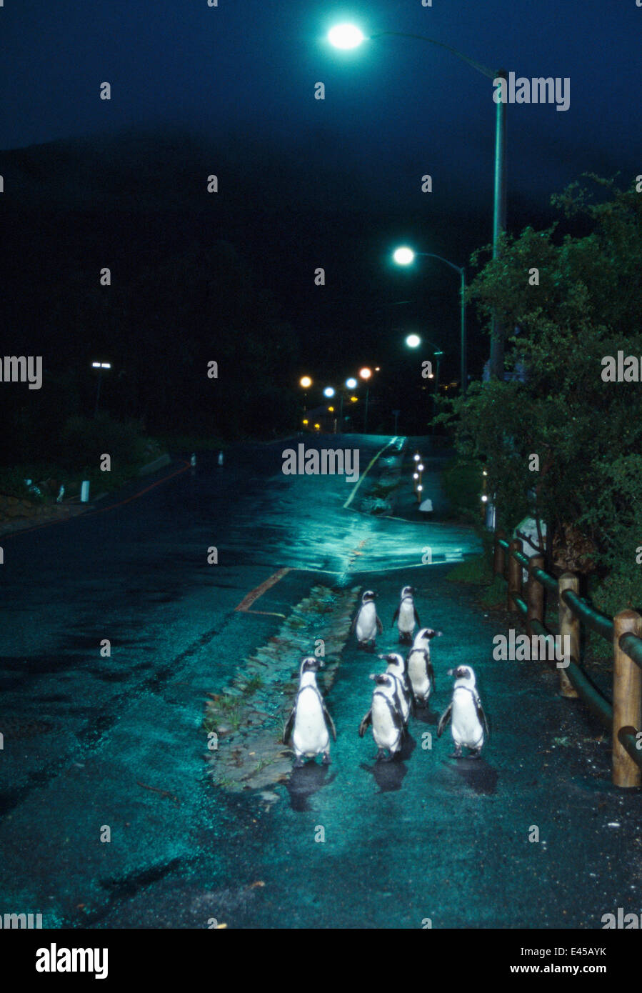 Black footed / Jackass penguins {Spheniscus demersus} walking along road at night with street lights, Boulders, South Africa Stock Photo