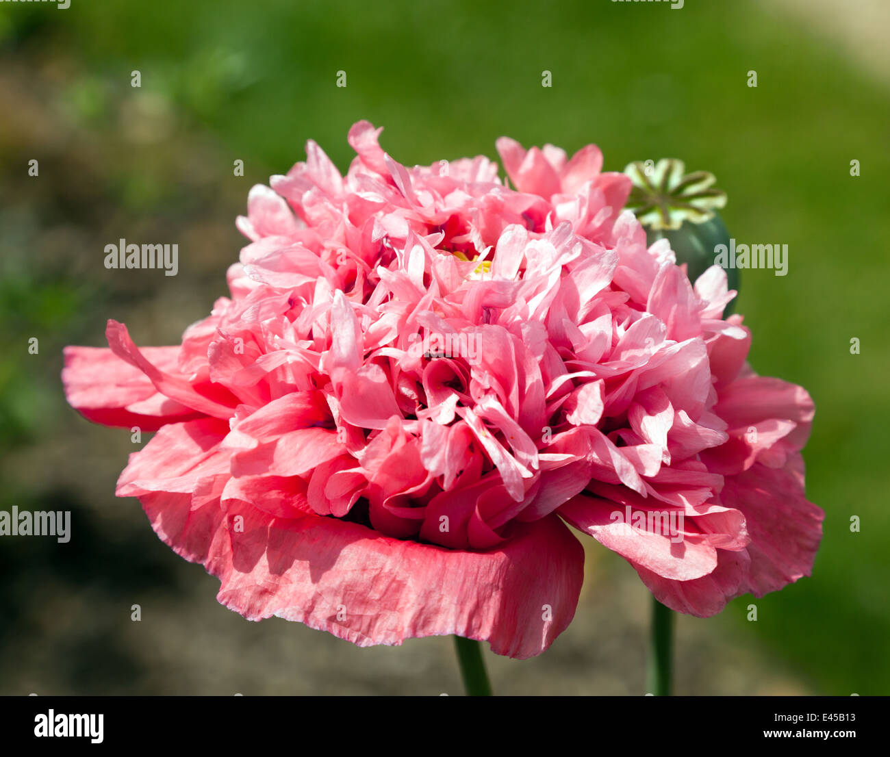 Giant Double Pink Poppy Flower Stock Photos Giant Double Pink