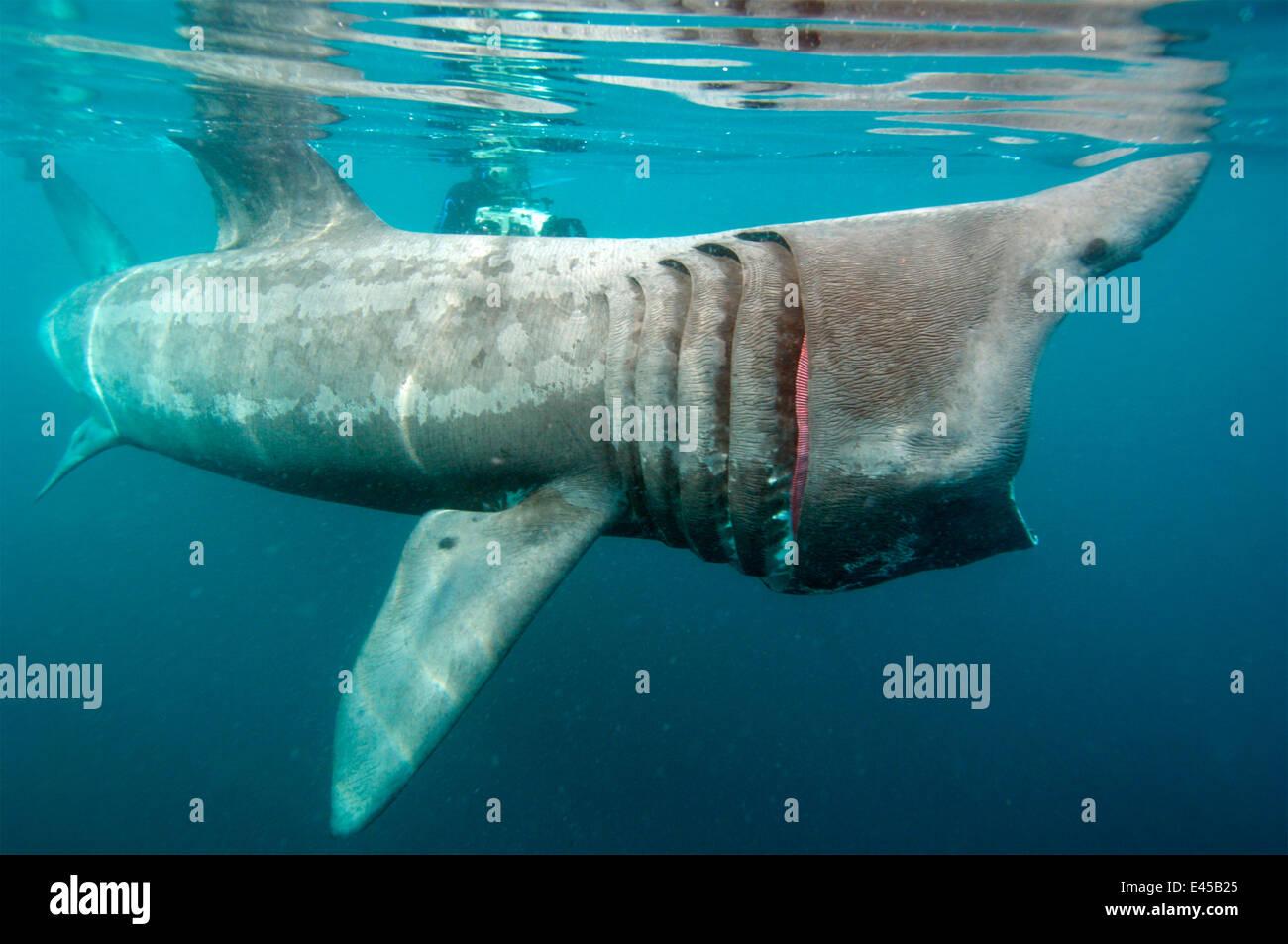 Basking shark {Cetorhinus maximus} feeding, UK mouth open - Stock Image