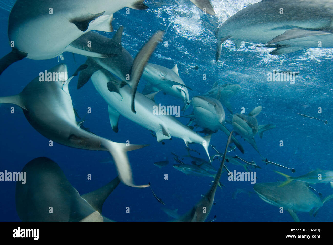 Grey reef sharks (Carcharhinus amblyrhynchos) at North Horn, Queensland, Australia - Stock Image