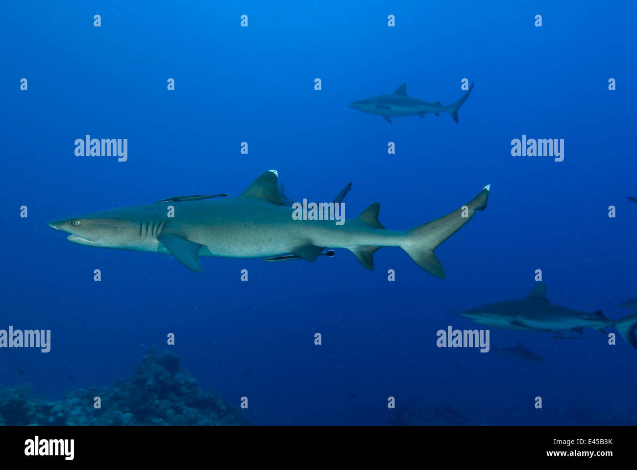 Whitetip reef shark (Triaenodon obesus) and Grey reef sharks (Carcharhinus amblyrhynchos) at North Horn, Queensland, - Stock Image