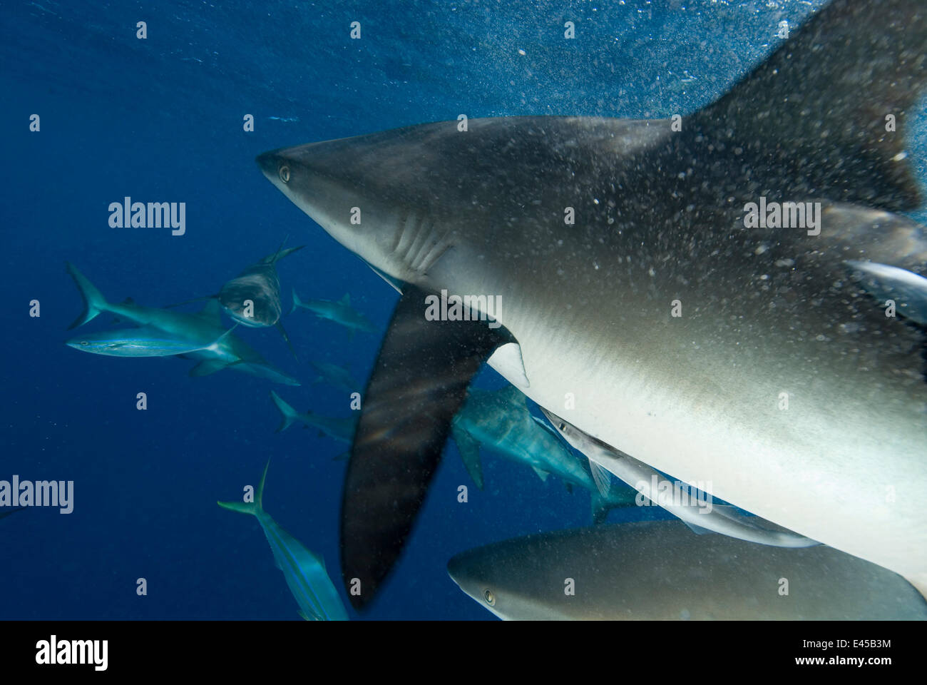 Grey Reef sharks (Carcharhinus amblyrhynchos) at North Horn teeming at water surface - Stock Image