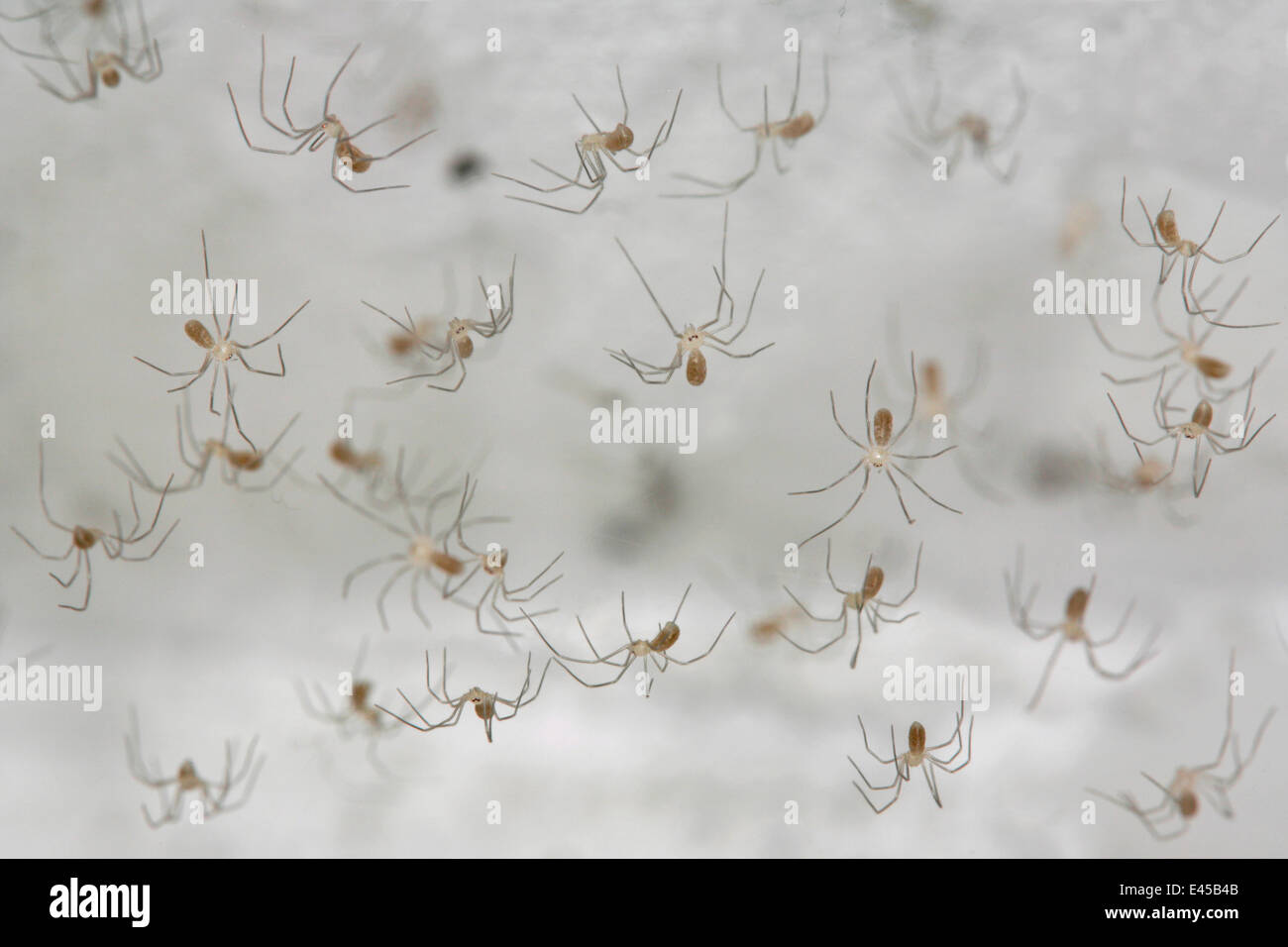 Juvenile Dadddy longleg spiderlings {Pholcus phalangioides} in web, Germany - Stock Image