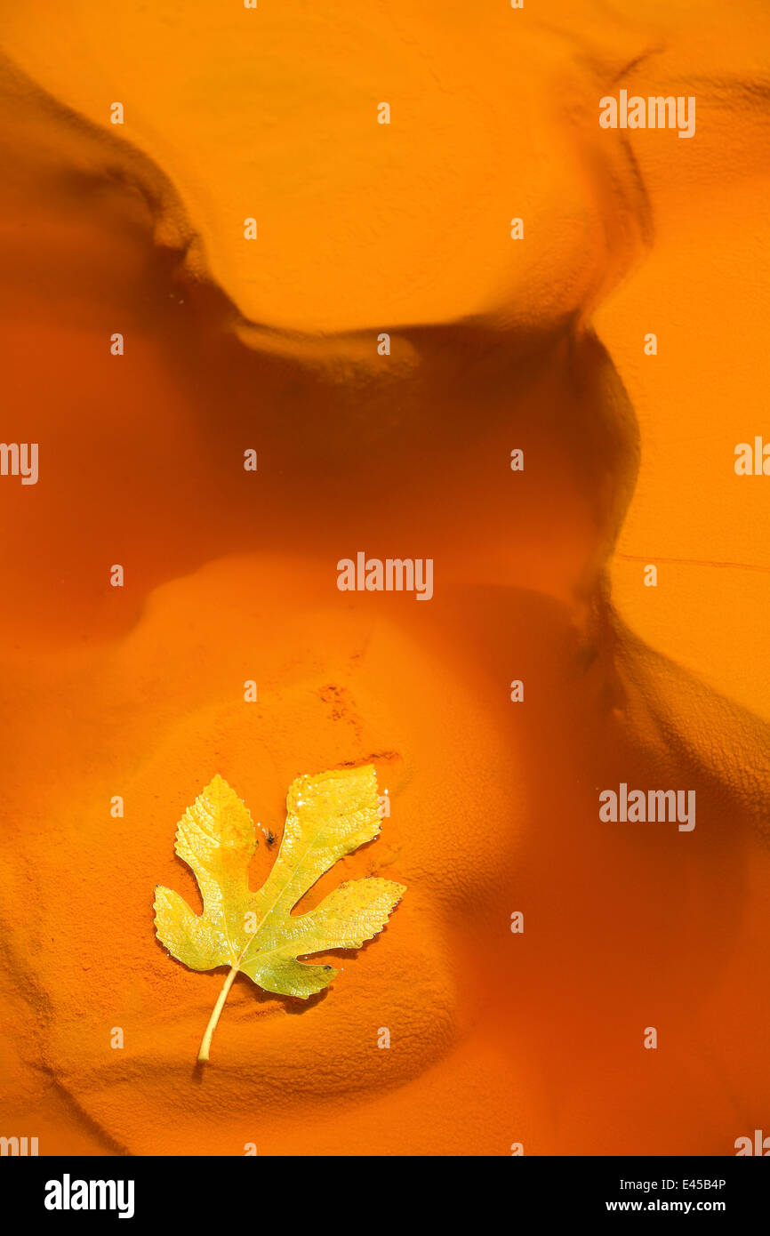Fig leaf in water from the Río Tinto, or Red River, very acidic and coloured deep red by iron dissolved in - Stock Image