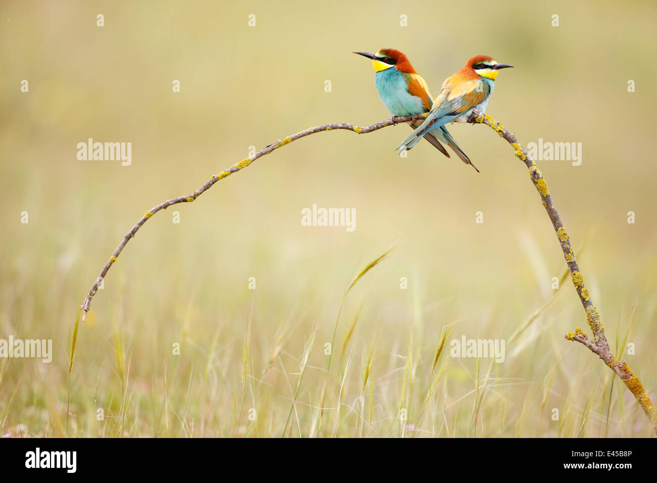 European bee eaters (Merops apiaster) on branch in meadow. Seville, Spain - Stock Image