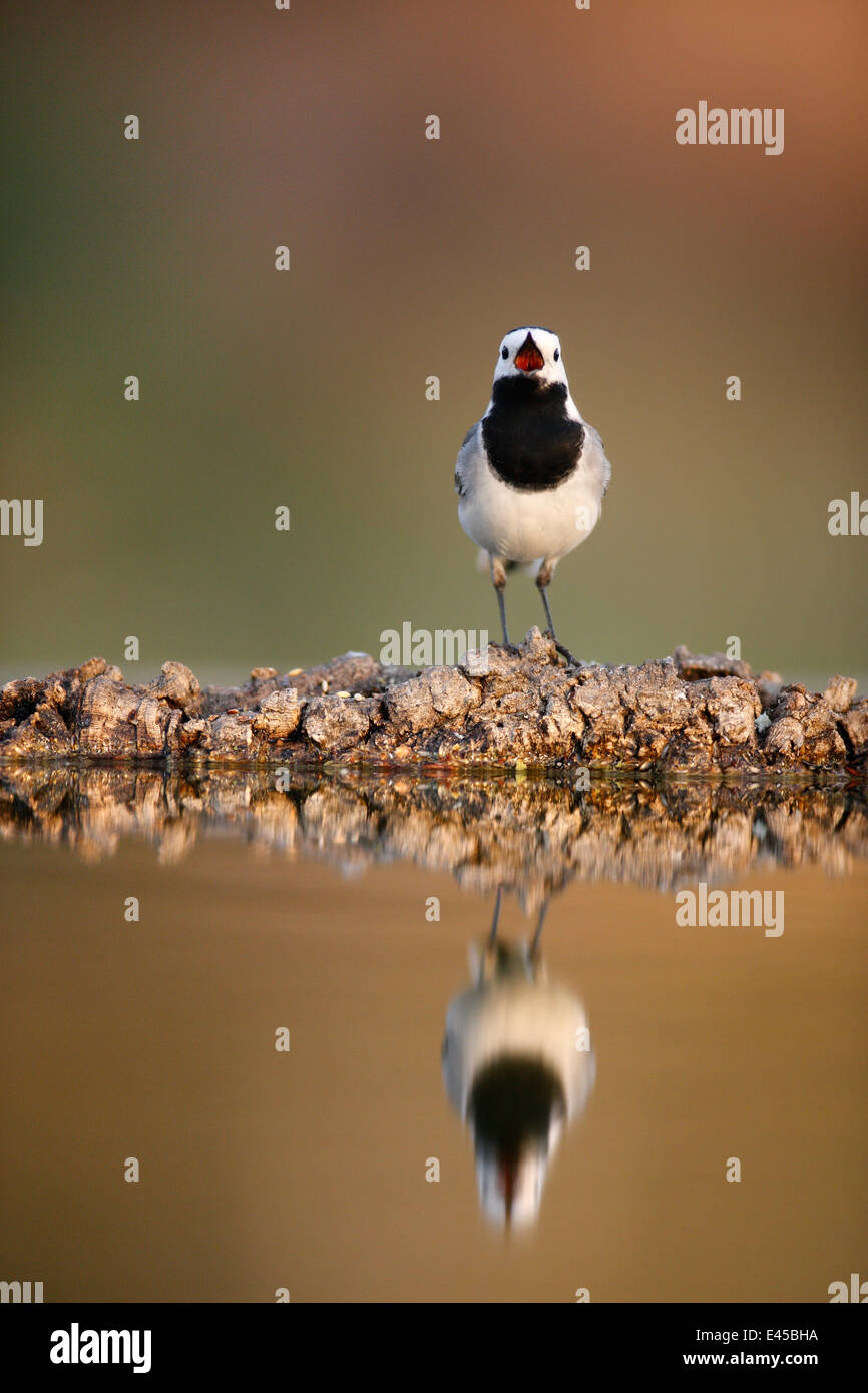 Pied wagtail (Motacilla alba) with beak wide open, reflected in water, Alicante, Spain - Stock Image