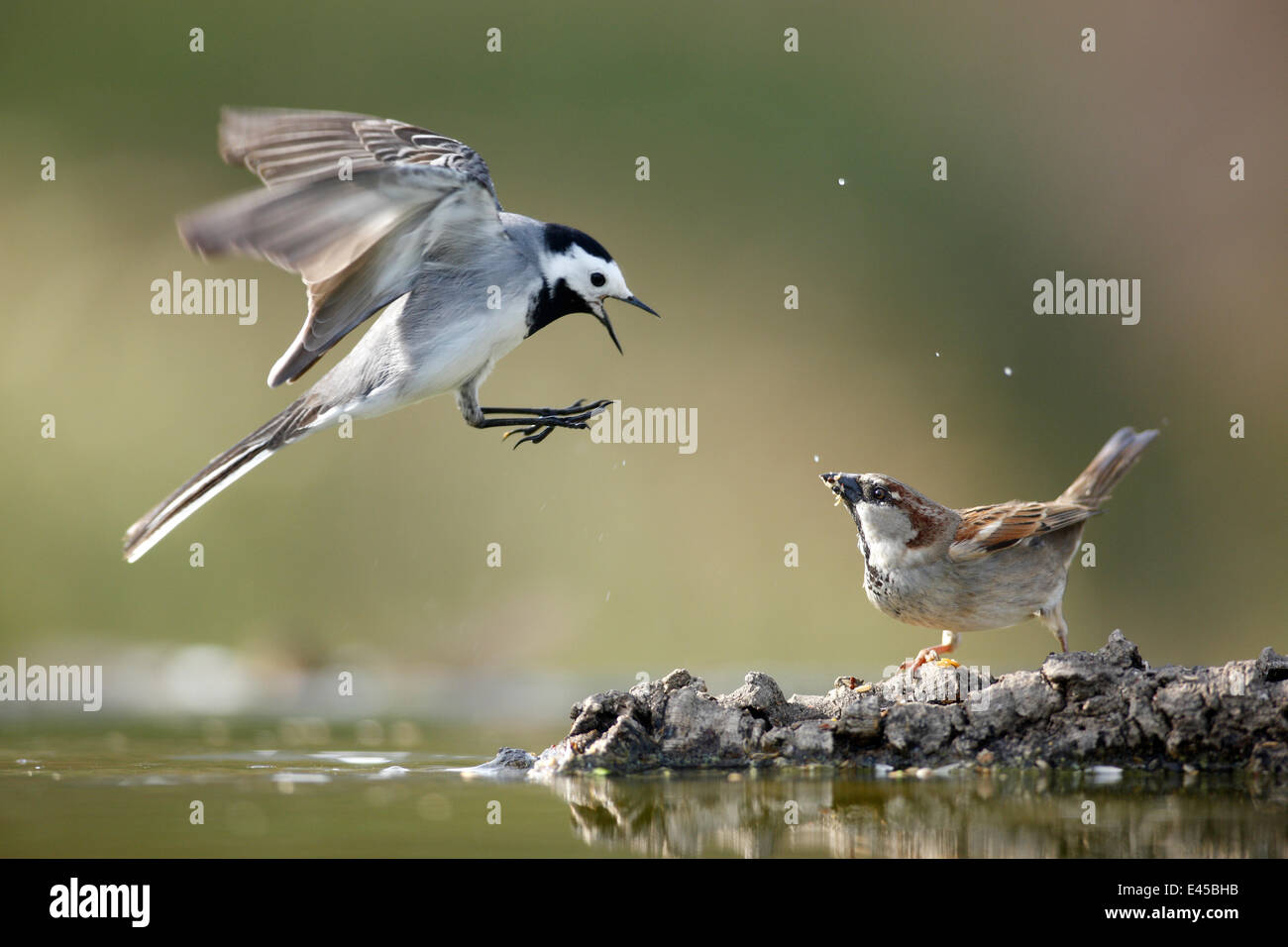 Pied wagtail (Motacilla alba) flying with beak wide open showing aggression towards Sparrow, Alicante, Spain Stock Photo