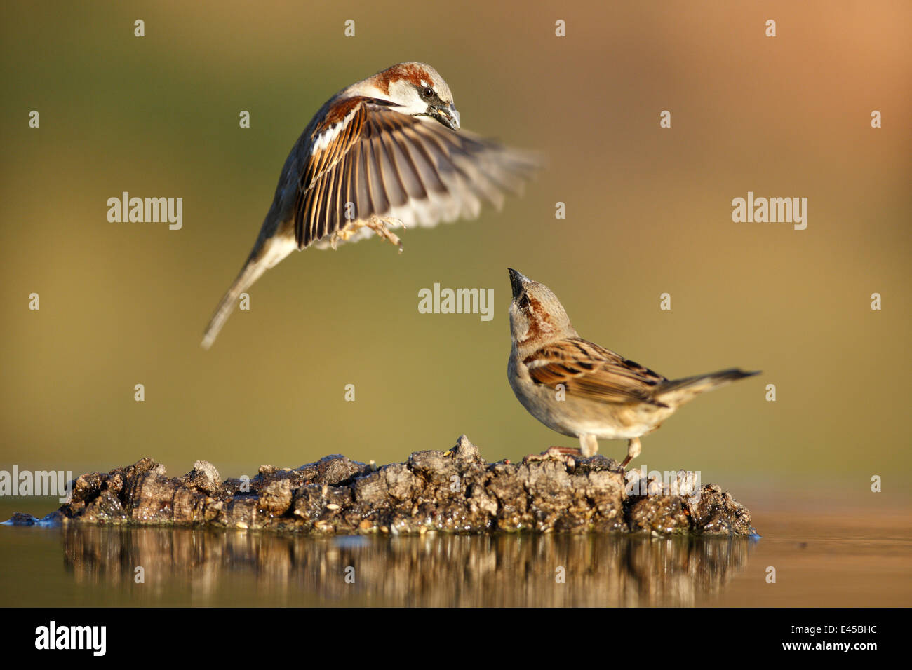 Common sparrow (Passer domesticus) landing next to another sparrow near water, Alicante, Spain - Stock Image