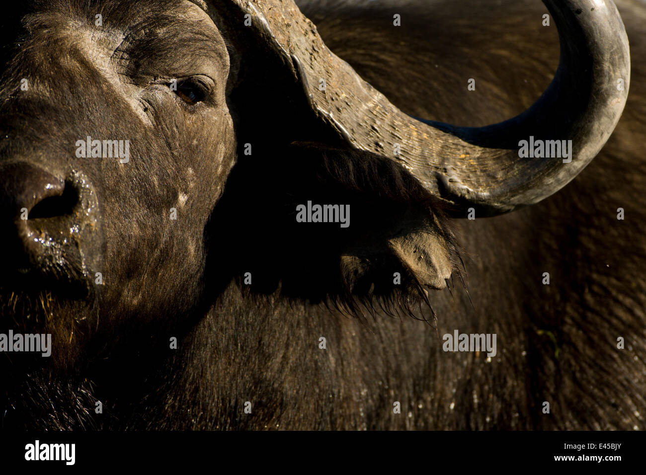 Male African / Cape Buffalo (Syncerus caffer) Okavango Delta, Botswana. - Stock Image