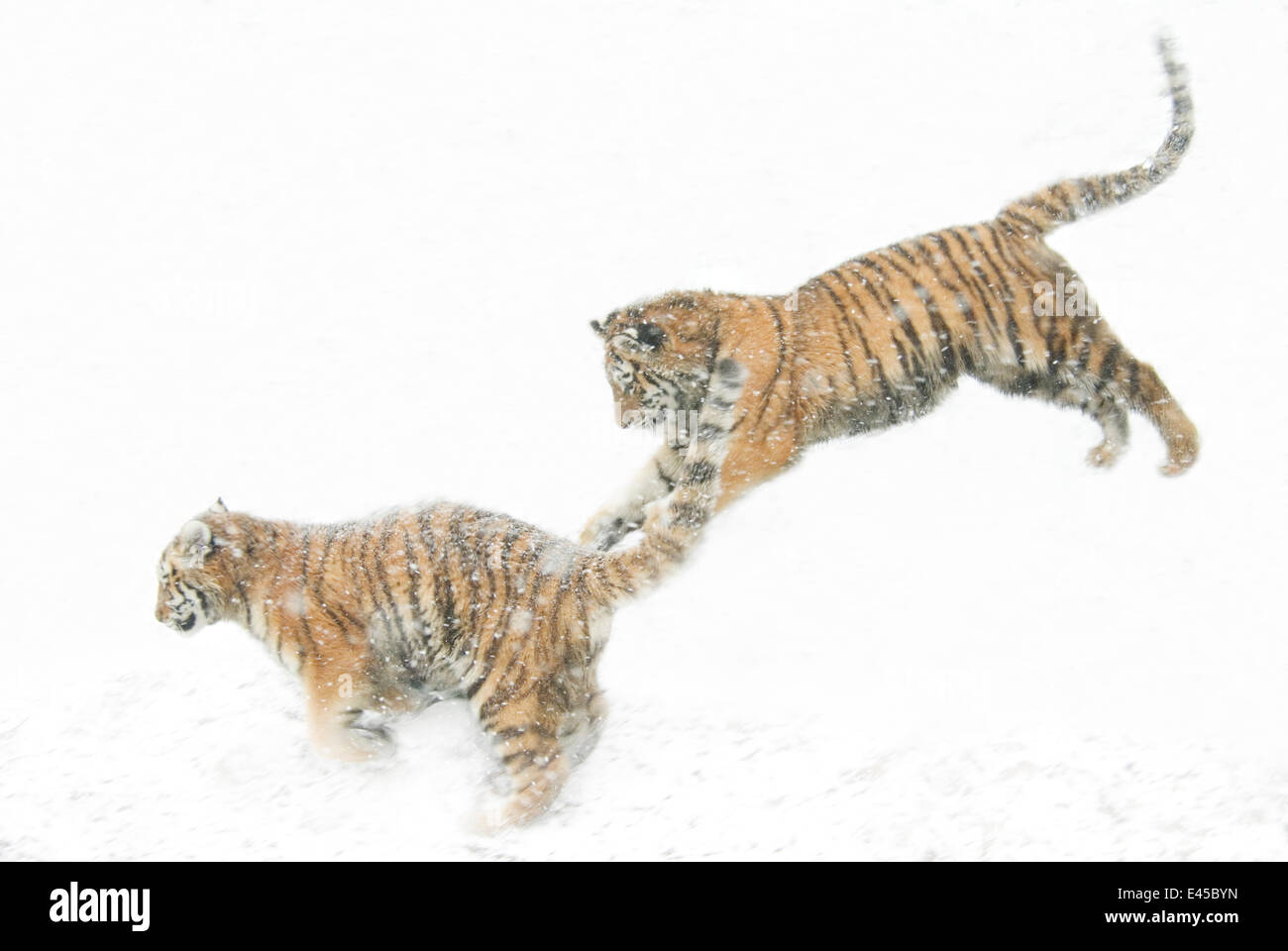 Two Siberian tigers {Panthera tigris altaica} leaping in snow, captive Stock Photo
