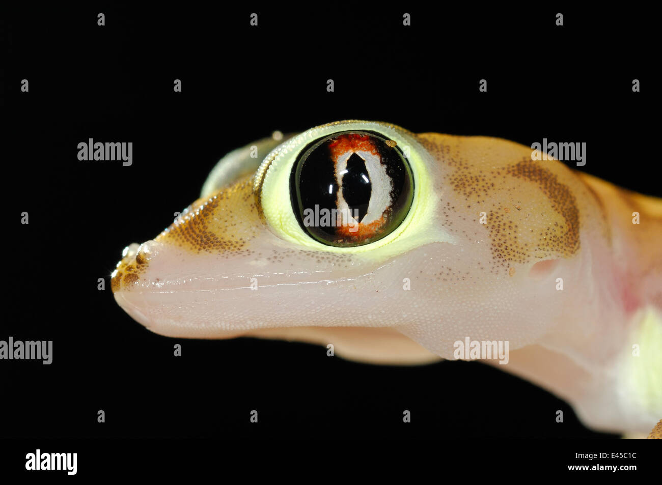 Web-footed gecko (Palmatogecko rangei) head portrait, Namib Desert, Namibia Stock Photo