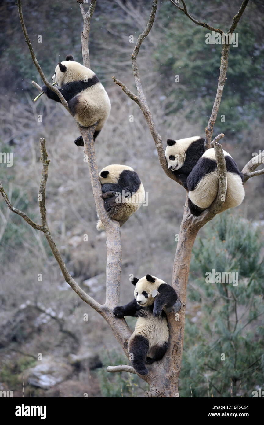 Four subadult giant pandas (Ailuropoda melanoleuca) climbing in a tree, Wolong Nature Reserve, China, captive - Stock Image