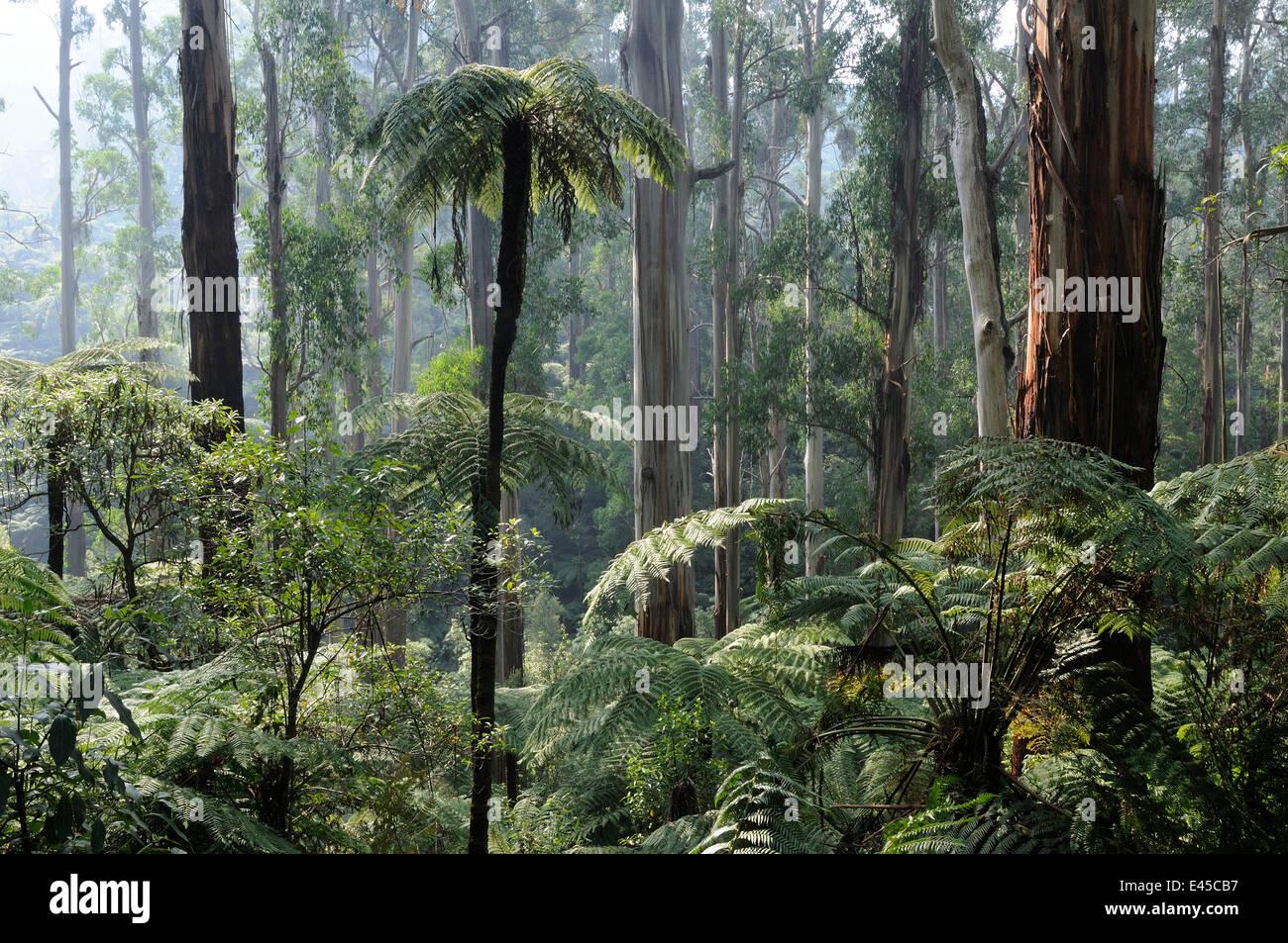 Royal eucalyptus (Eucalyptus regnans) and Soft tree-ferns (Dicksonia antarctica), Tarra Bulga National Park, Victoria, - Stock Image