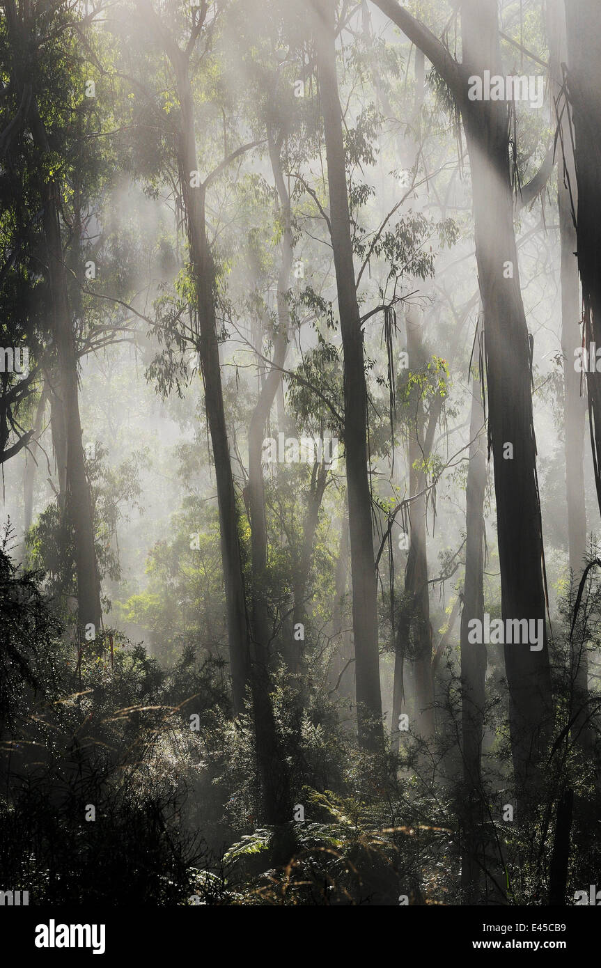 Morning fog in eucalypt forest, Great Otway National Park, Victoria, Australia. - Stock Image