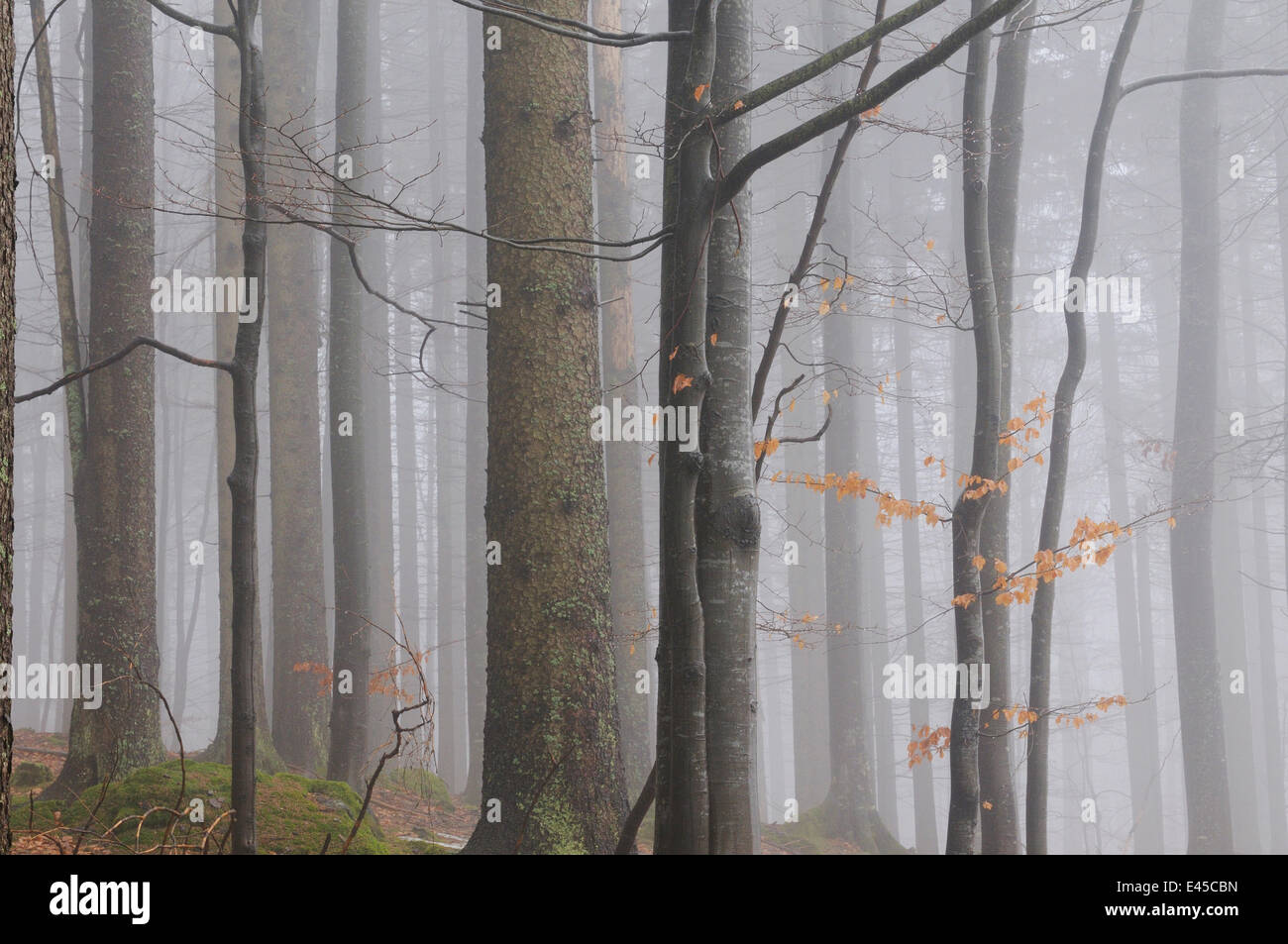 Forest in winter, Bayerischer Wald National Park, Germany Stock Photo