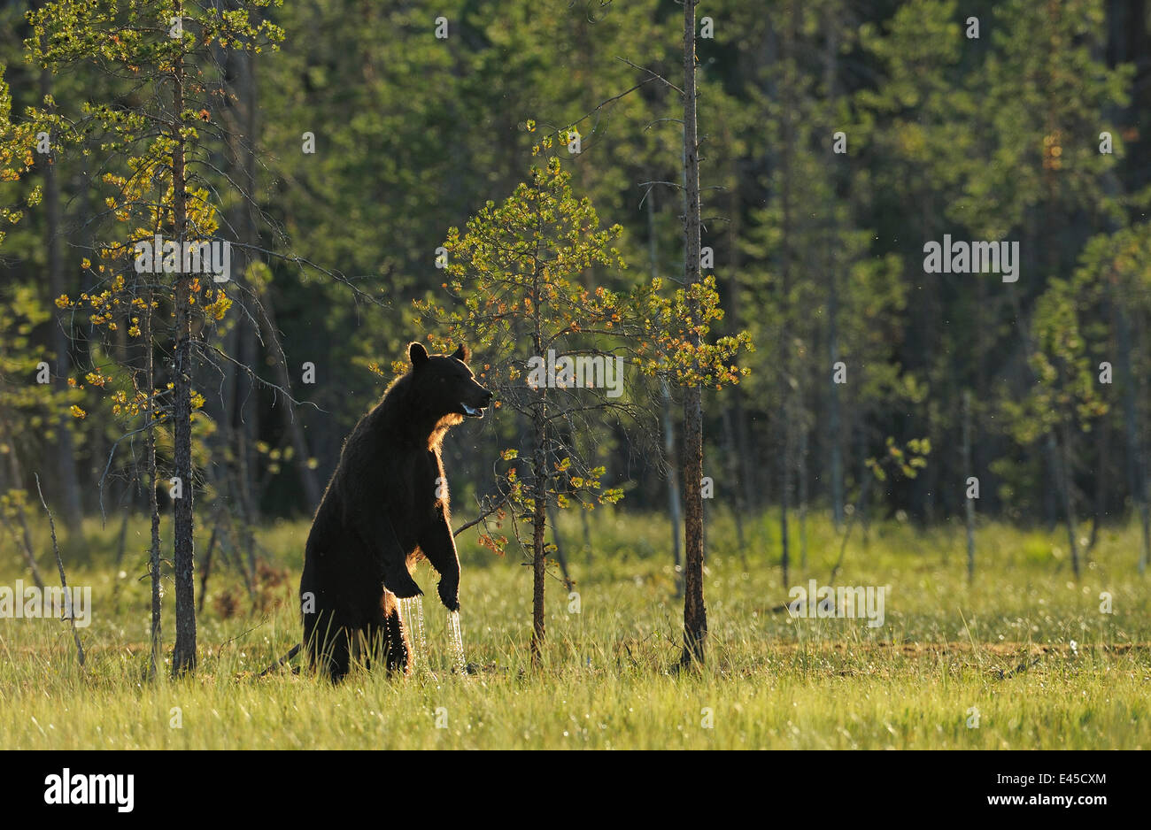 Eurasian brown bear (Ursus arctos) standing with water dripping from its paws, Kuhmo, Finland, July 2008 - Stock Image