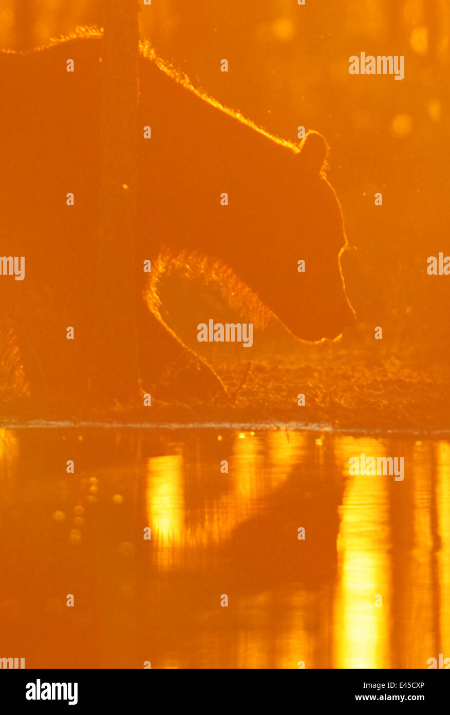 Eurasian brown bear (Ursus arctos) at waters edge, sunset, Kuhmo, Finland, July 2008 - Stock Image