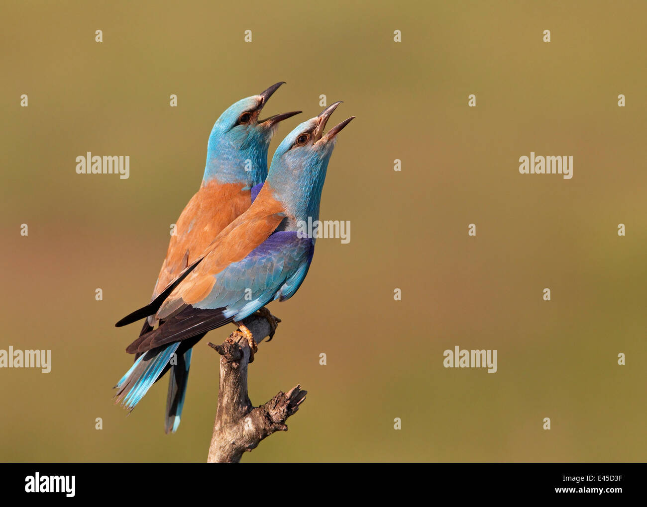 European Roller (Coracias garrulus) pair vocalising, Pusztaszer, Hungary, May 2008 Stock Photo