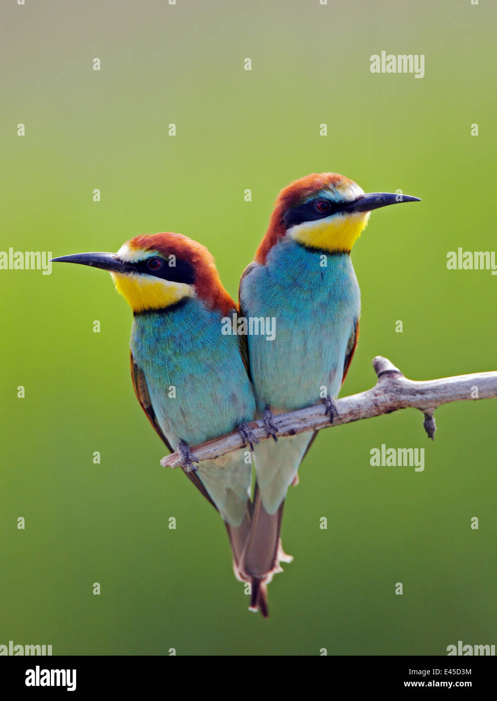 European Bee-eater (Merops apiaster) pair perched, Pusztaszer, Hungary, May 2008 - Stock Image
