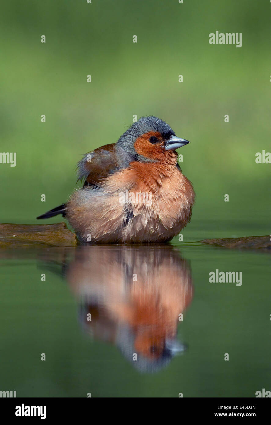 Chaffinch (Fringilla coelebs) male bathing, Pusztaszer, Hungary, May 2008 - Stock Image