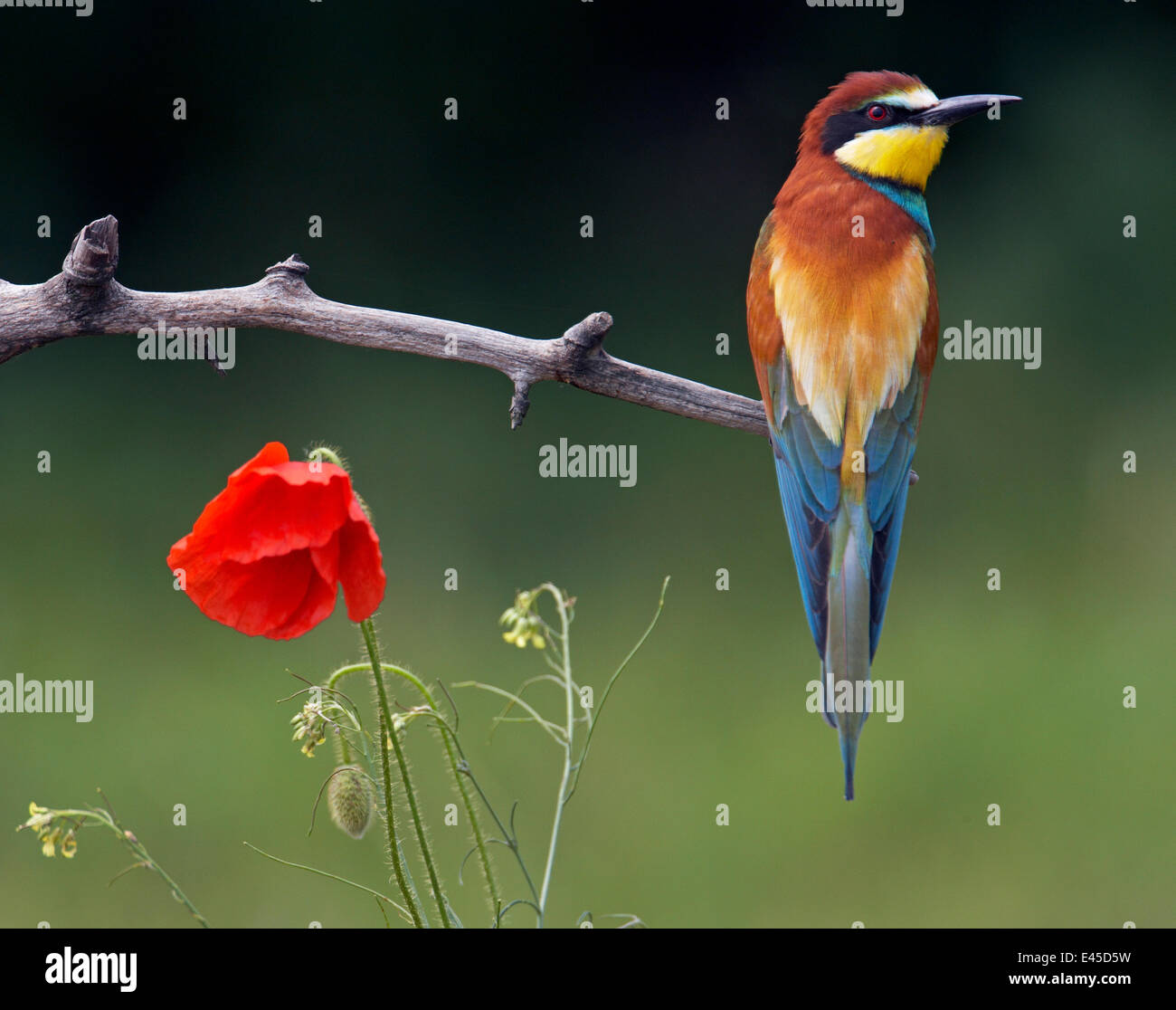European Bee-eater (Merops apiaster) perched beside Poppy flower, Pusztaszer, Hungary, May 2008 - Stock Image