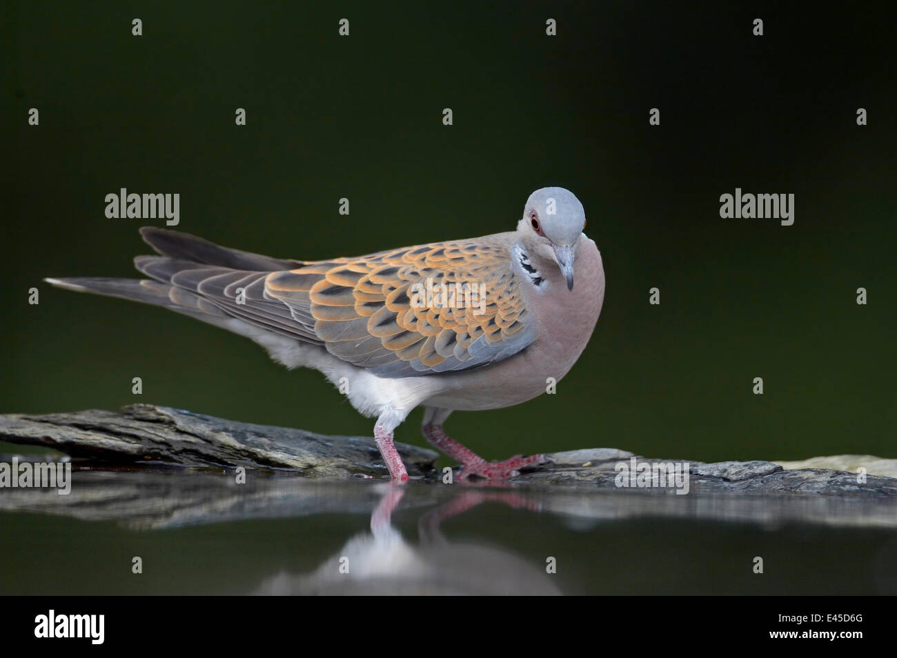 Turtle dove (Streptopelia turtur) at water, Pusztaszer, Hungary, May 2008 - Stock Image