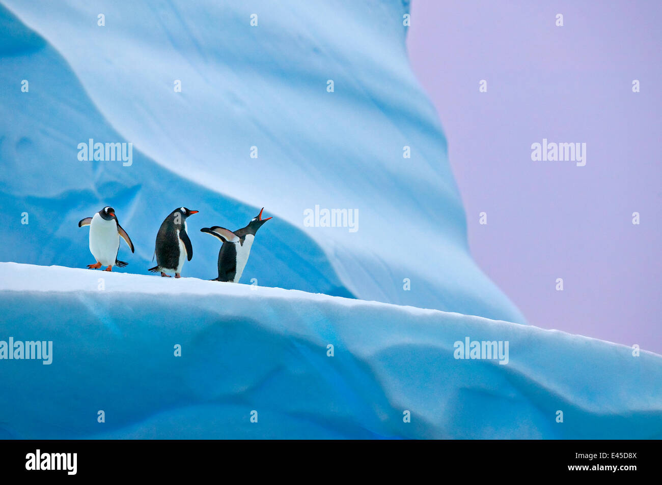 Gentoo penguin (Pygoscelis papua) group on iceberg, Mikkelsen Harbour, Antarctica Stock Photo