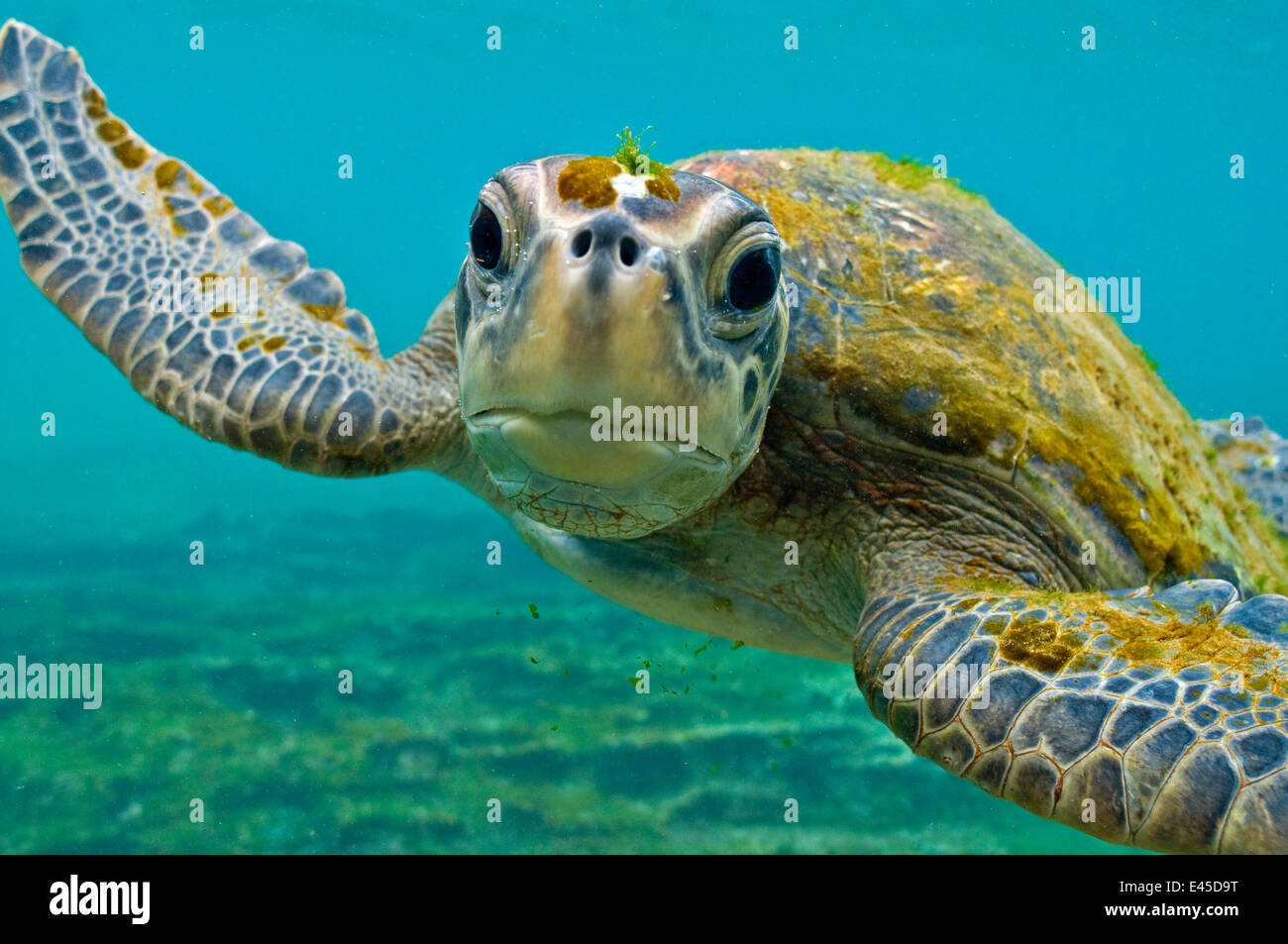 Galapagos green turtle (Chelonia mydas agassisi) underwater portrait, being inquisitive, note algae growing on head Stock Photo