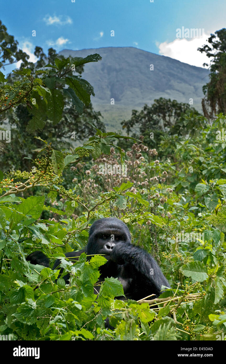 Mountain gorilla (Gorilla gorilla beringei) blackback male in rainforest, in front of Sabinyo volcano, Volcanoes - Stock Image