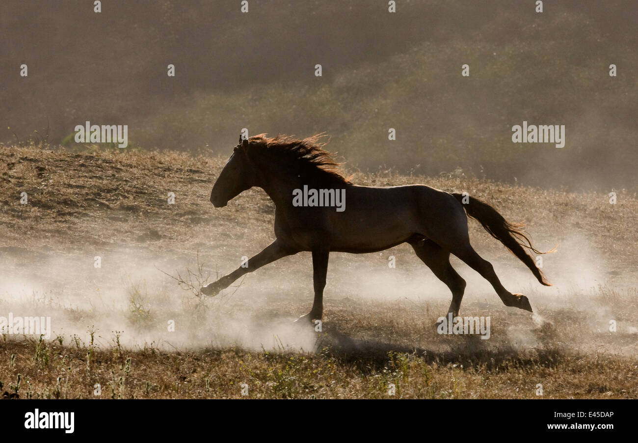 Grulla Mustang stallion running in dust at Return to Freedom Sanctuary, Lompoc, California, USA - Stock Image