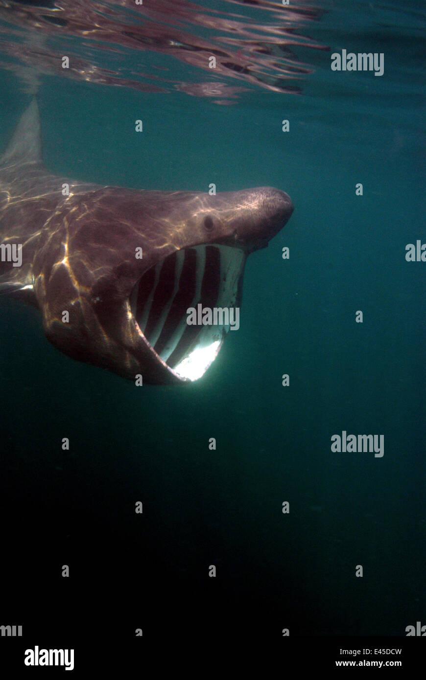 Basking shark {Cetorhinus maximus} feeding with mouth wide open, off Cornwall, UK - Stock Image