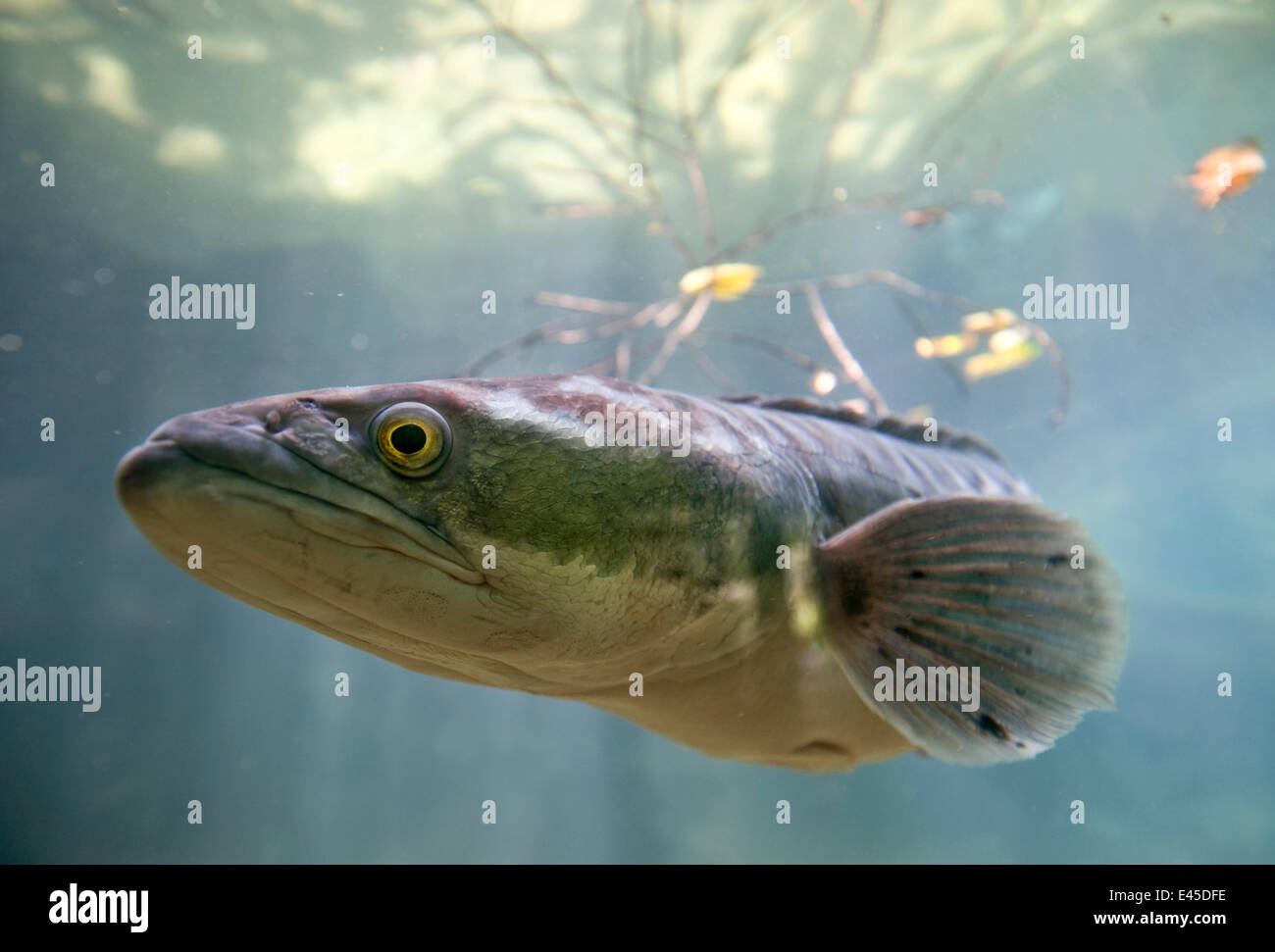 Giant snakehead / Toman (Channa micropeltes)Found in freshwater / flooded swamp areas. From SE Asia including Borneo. - Stock Image