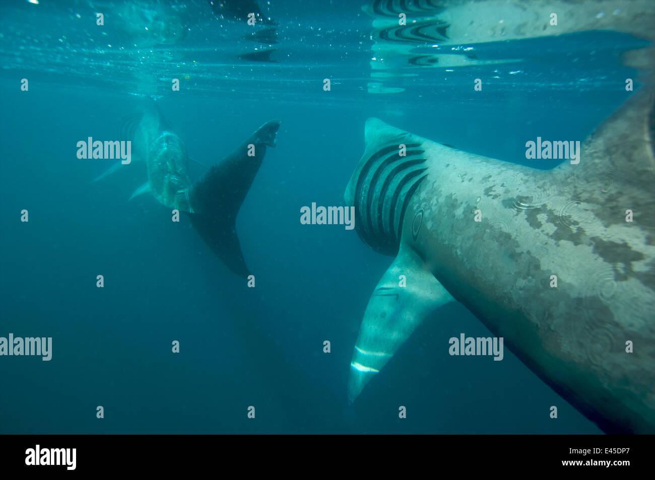 Basking shark feeding off the Cornish coastline. Cornwall, UK. - Stock Image