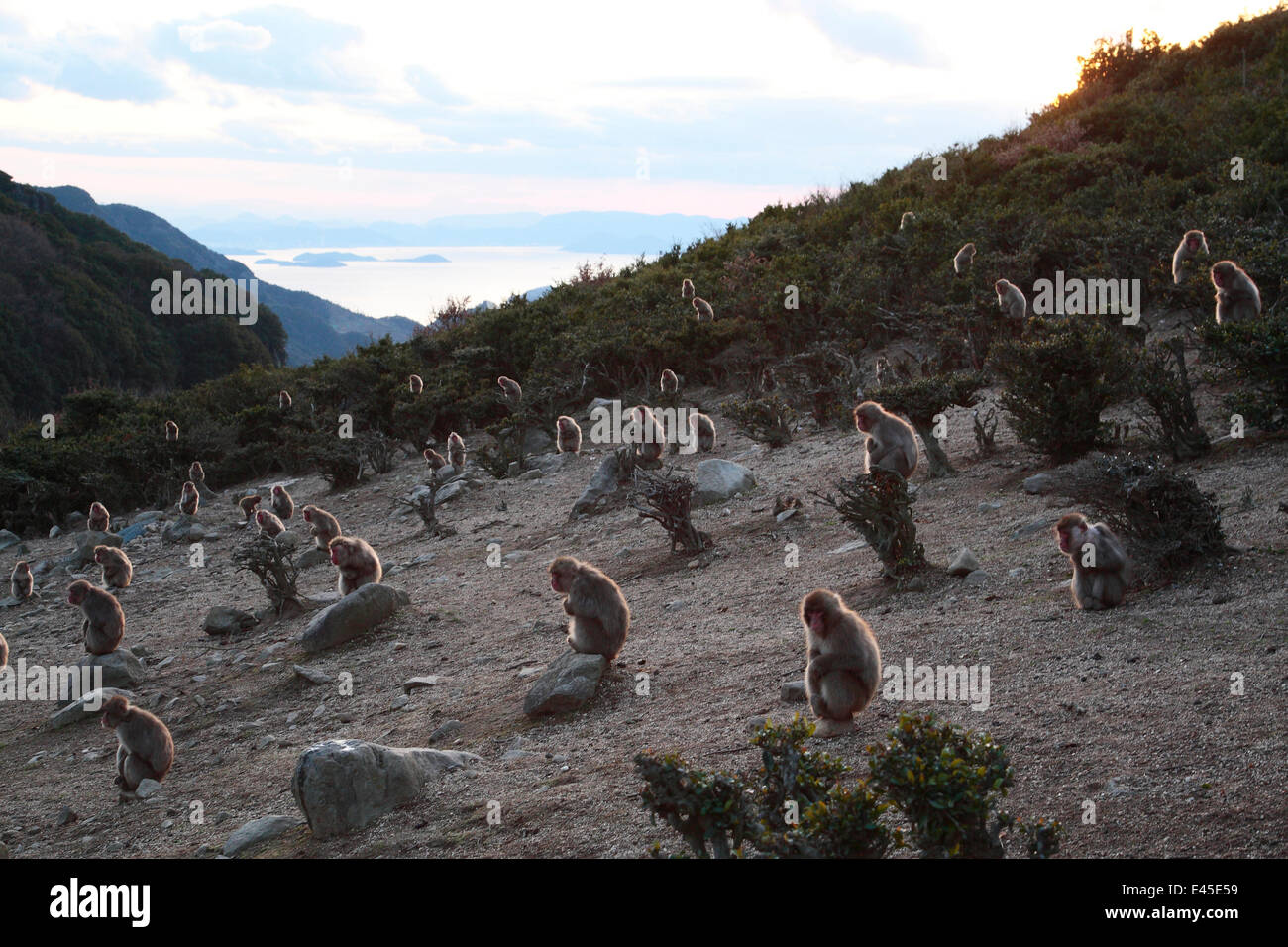 Japanese macaques (Macaca fuscata) spread out sitting on small rocks, Shodoshima, Japan - Stock Image