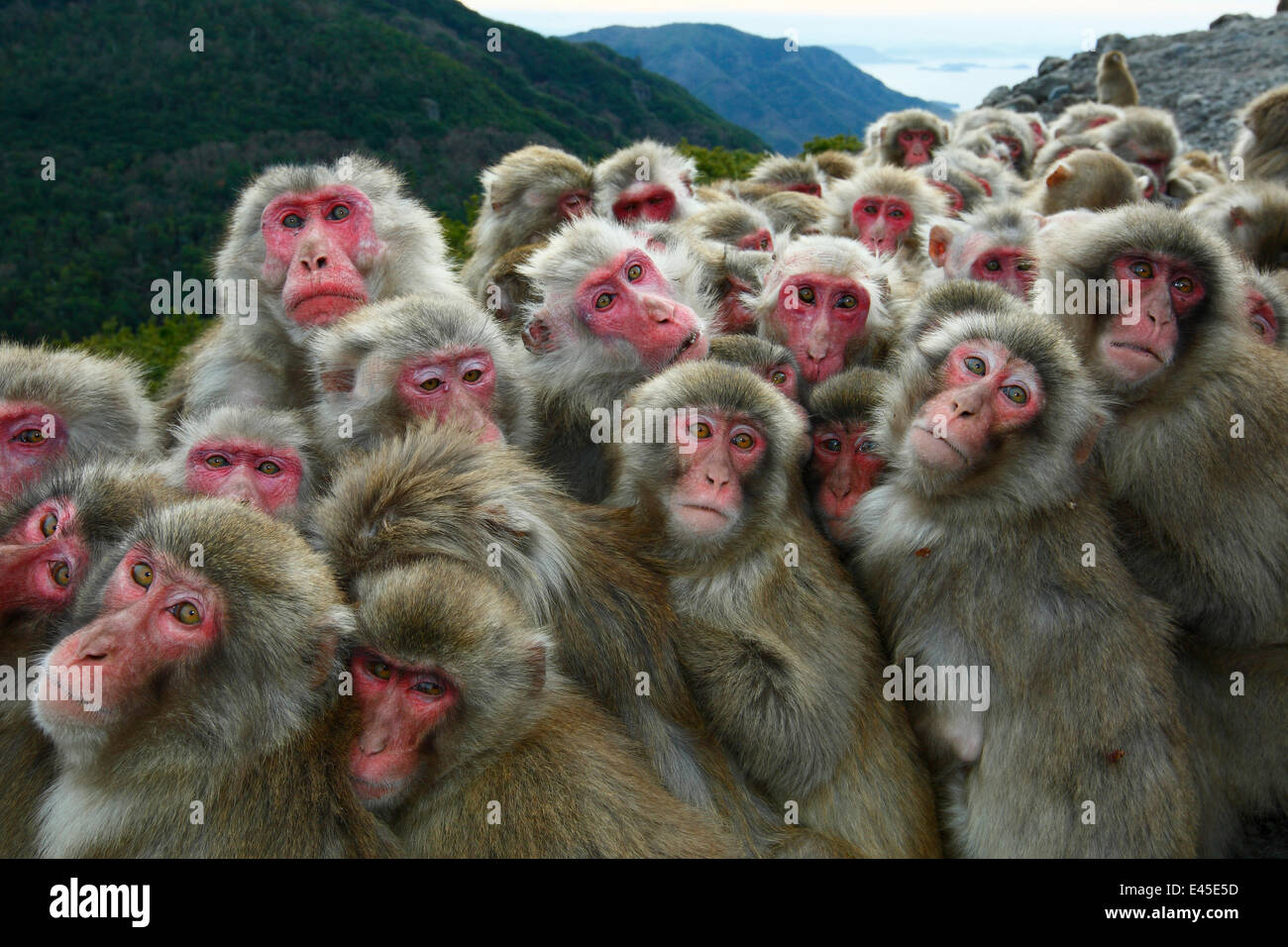 Japanese macaques (Macaca fuscata) huddling together for warmth on a cold day, Shodoshima, Japan Stock Photo