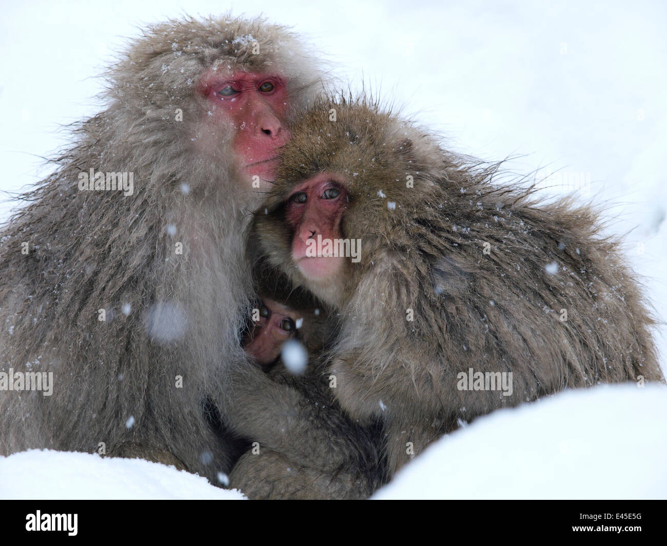 Japanese macaque (Macaca fuscata) family huddled together for warmth on a cold day, Jigokudani, Joshinetsu Kogen Stock Photo